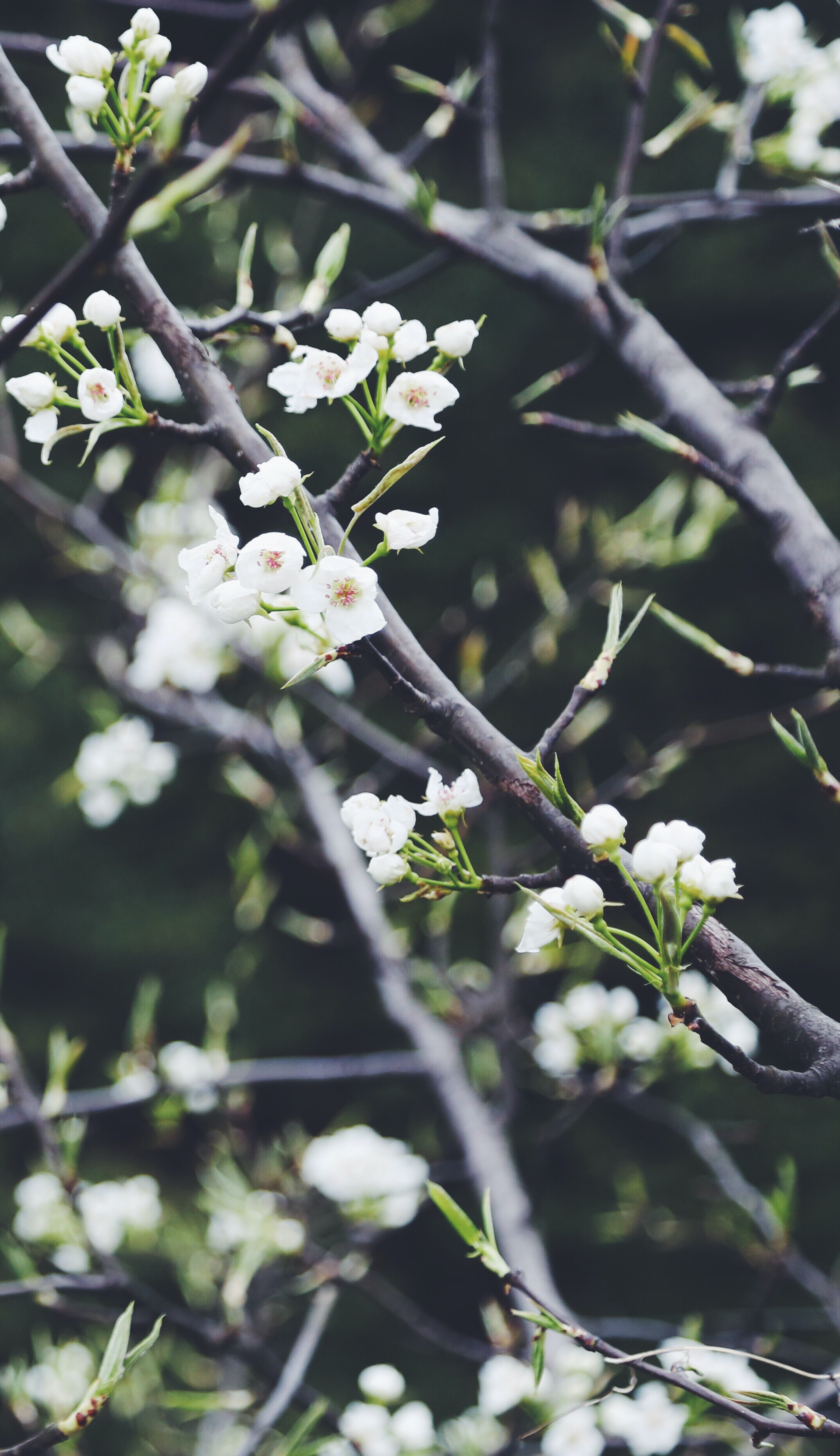 Branches with white blossom flowers in bloom and stems in Spring