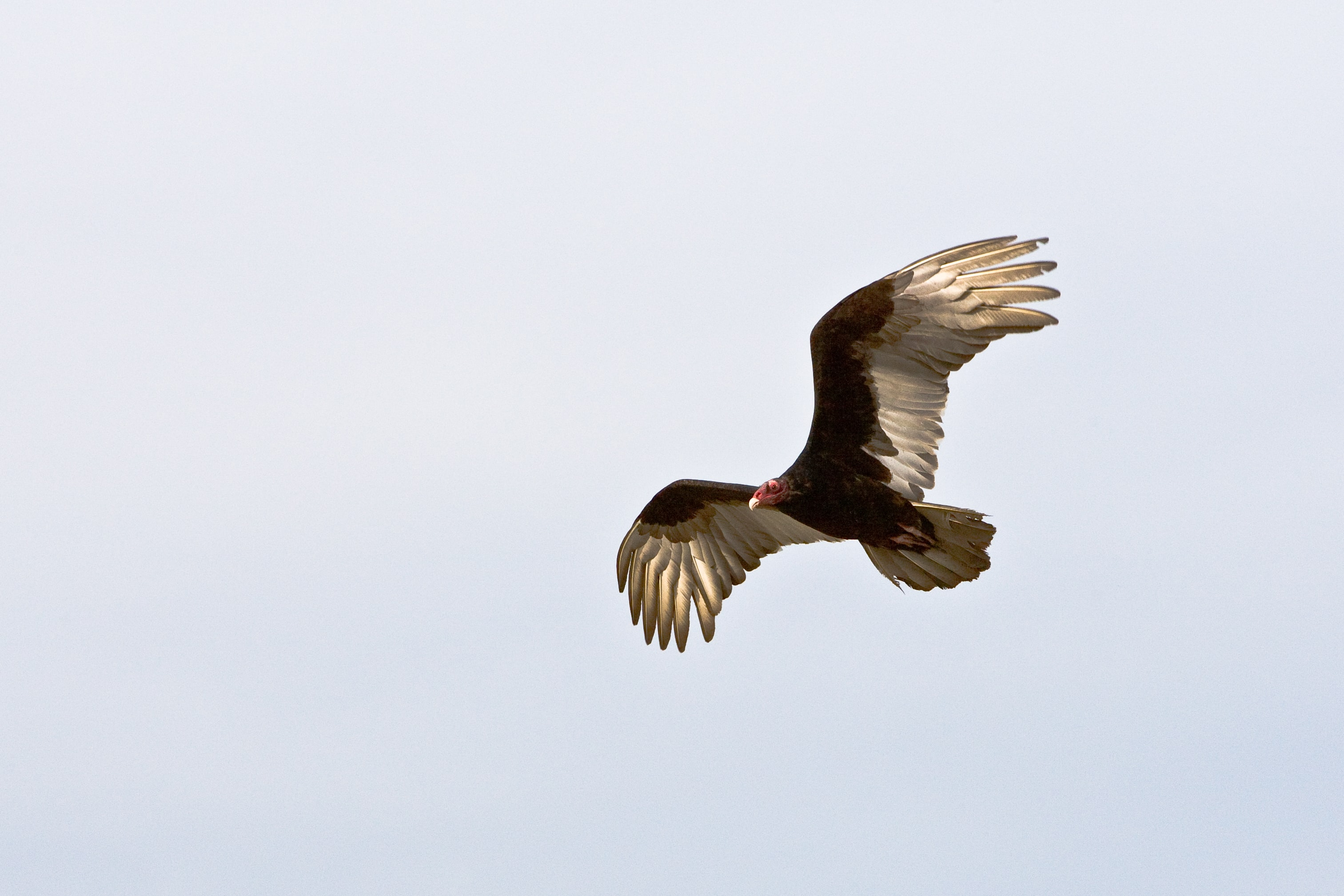 A turkey vulture with its wings outstretched against the pale blue sky