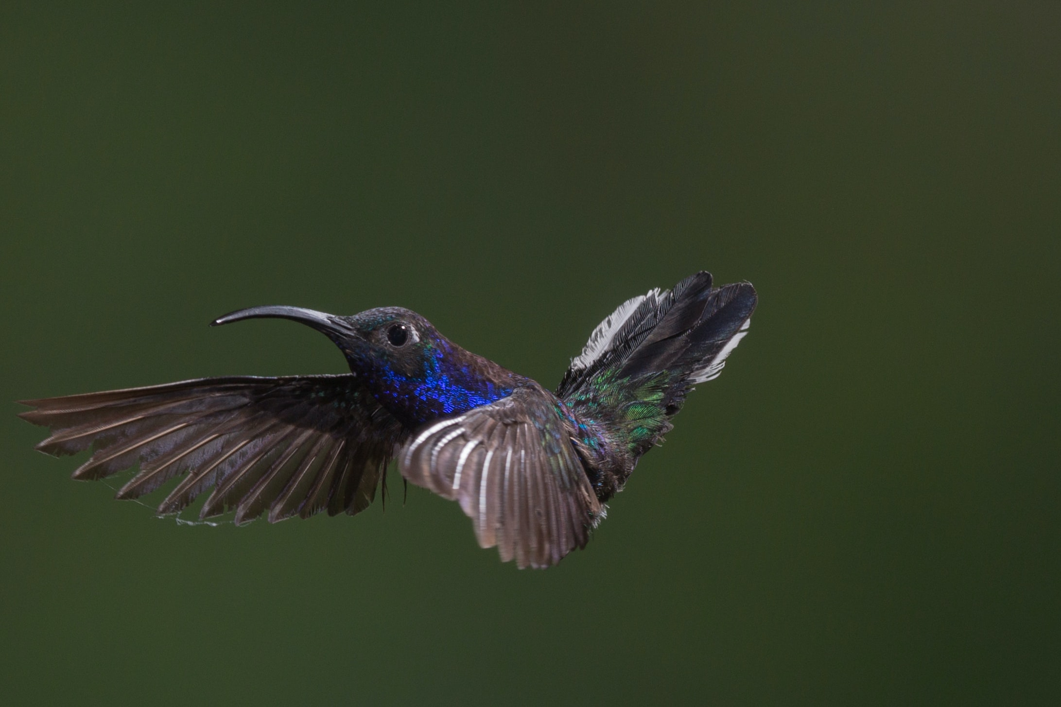 Glossy blue hummingbird flapping its wings in mid air