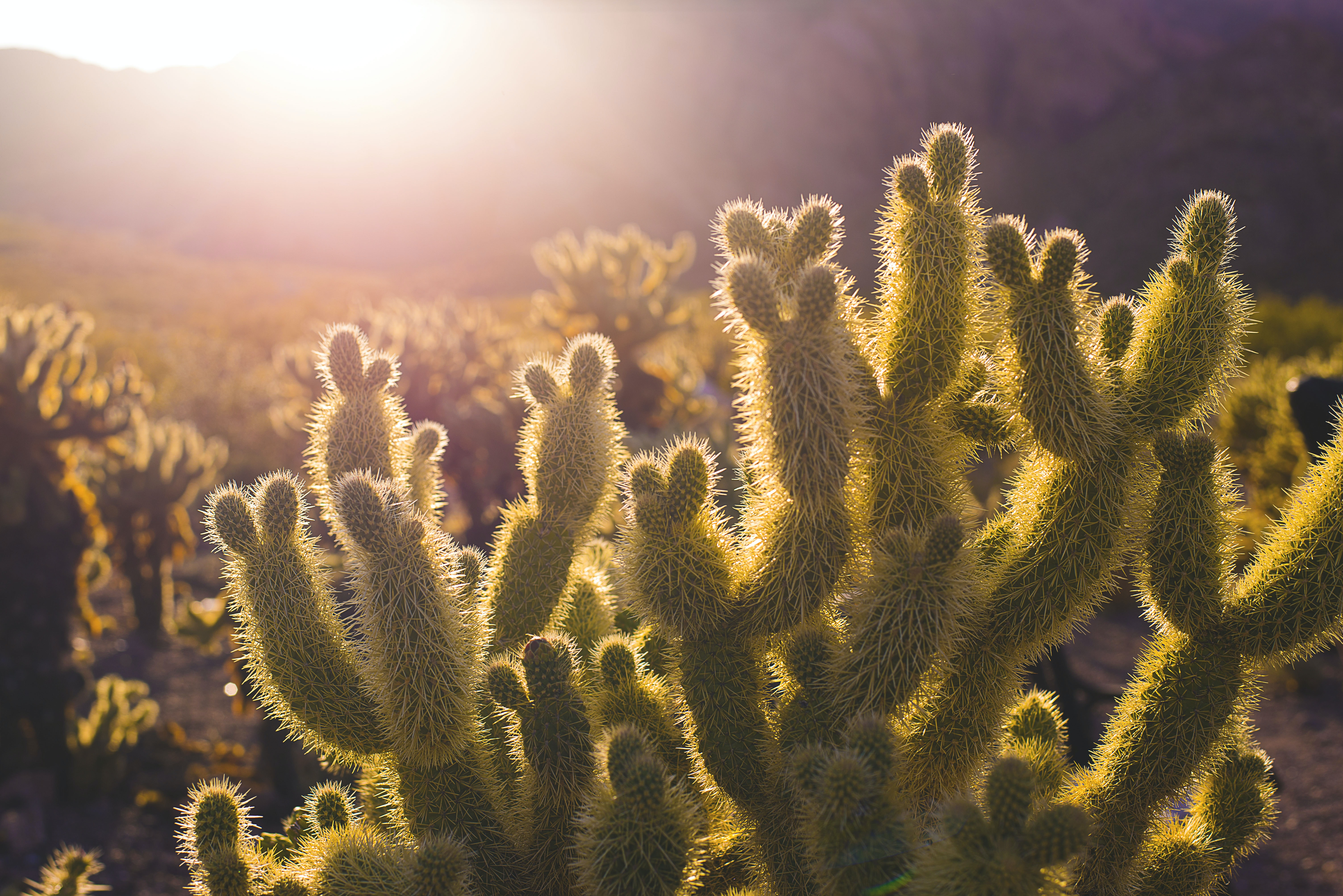 A close-up of an impressive cactus in a cactus field during sunset