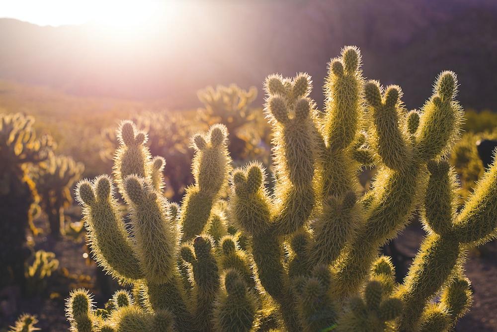 green cacti plants