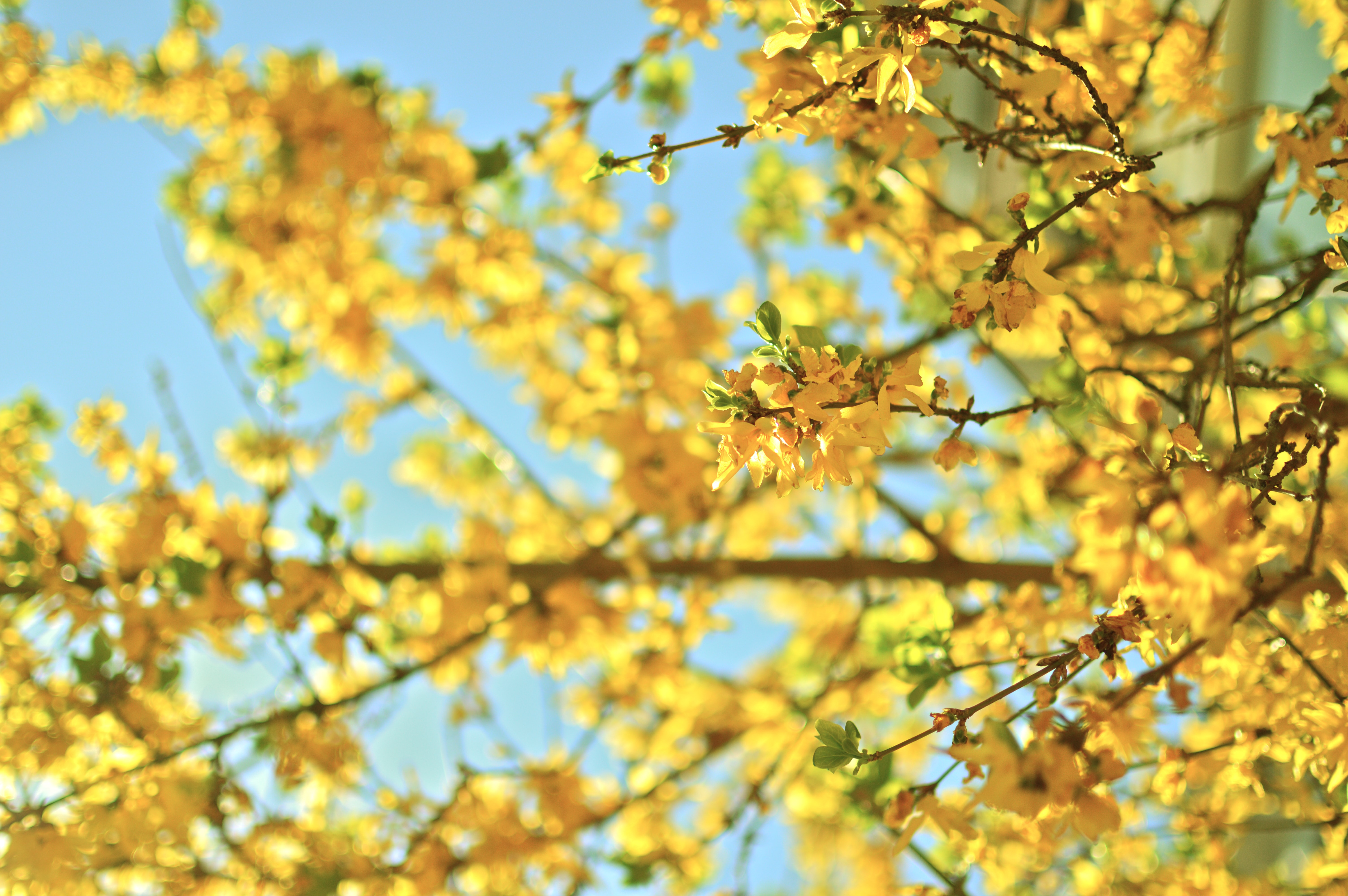A close-up of branches covered with light yellow flowers in blossom