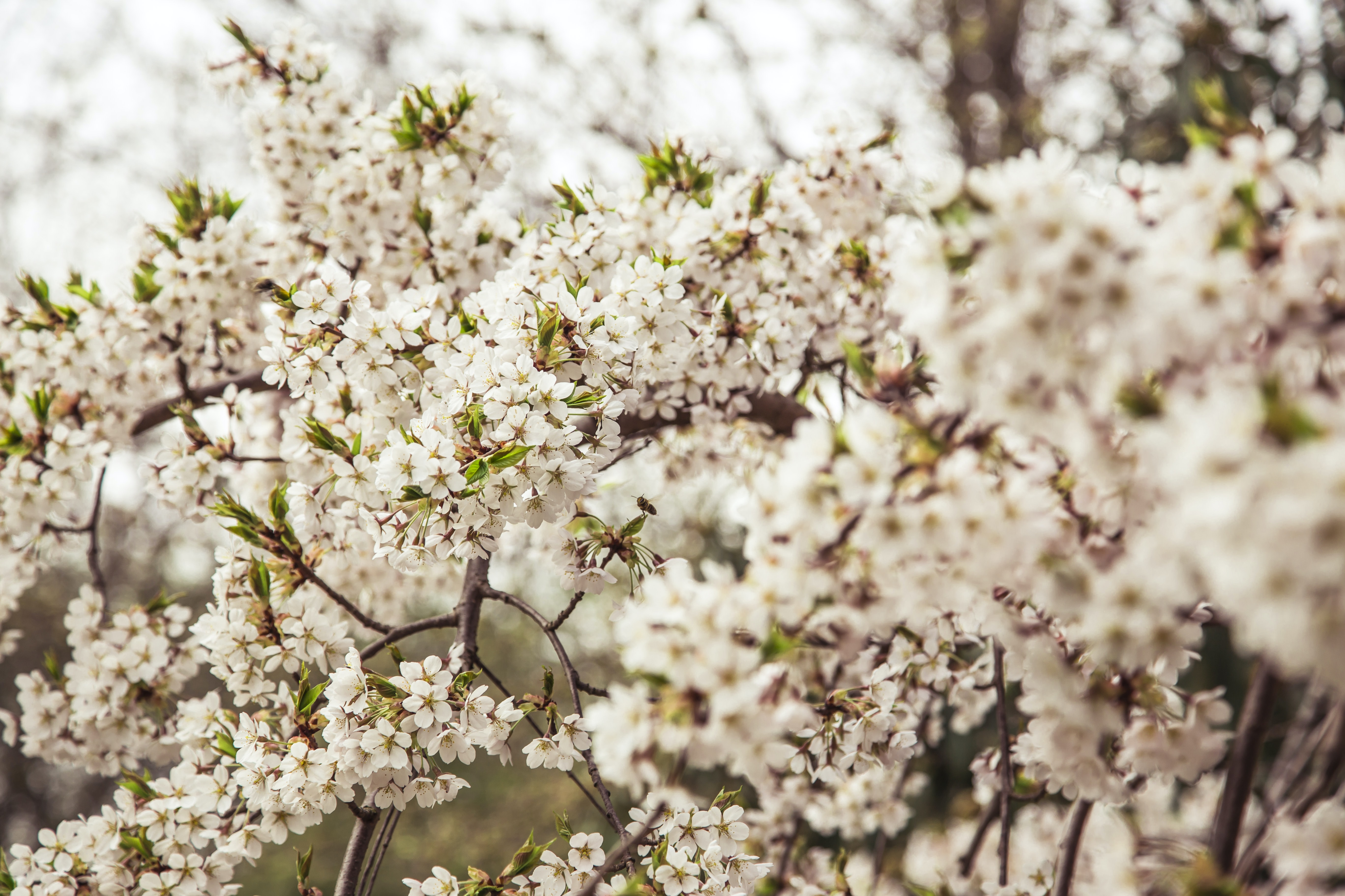 White blossom covering the branches of a tree
