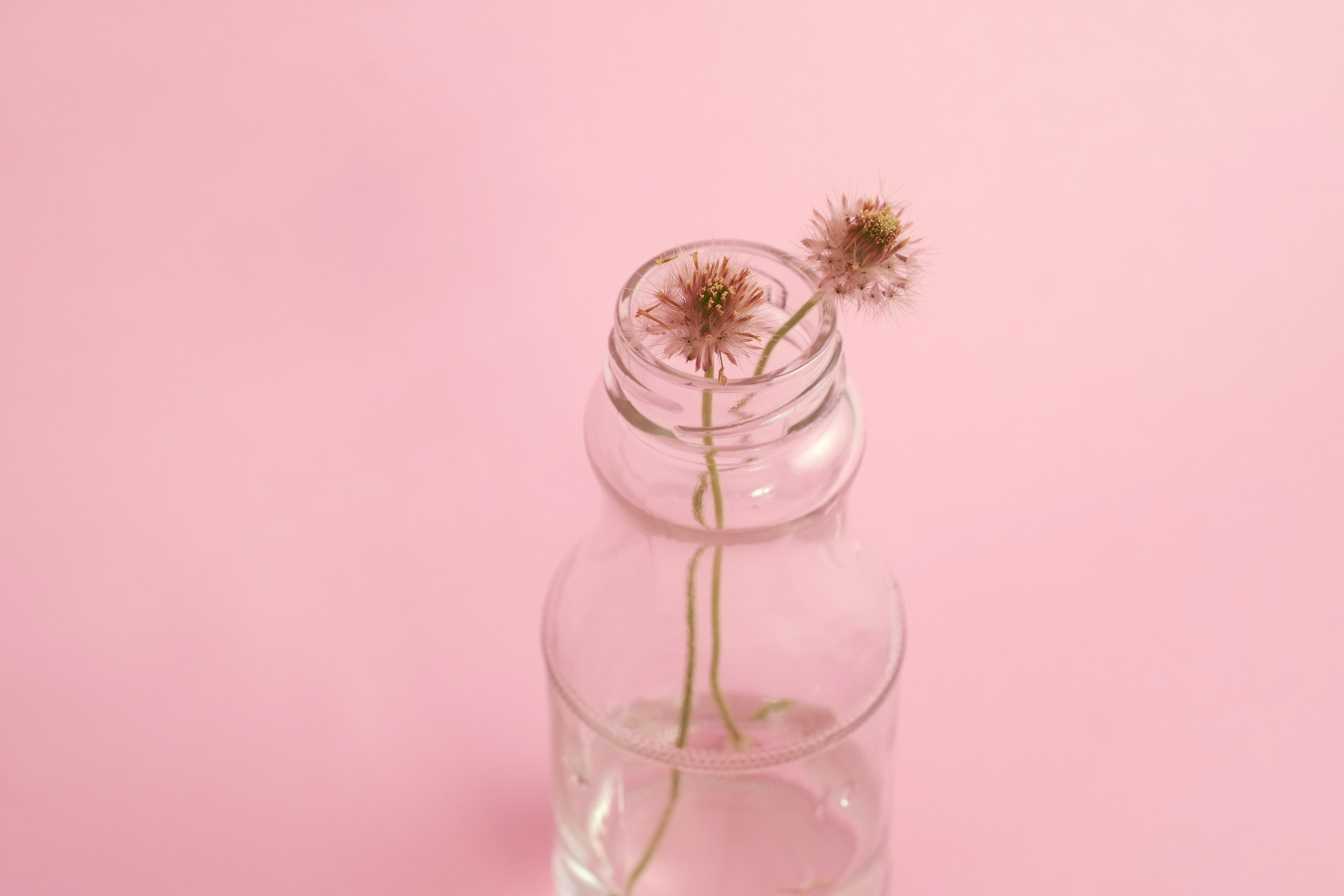 two wilted dandelion flowers on clear glass vase