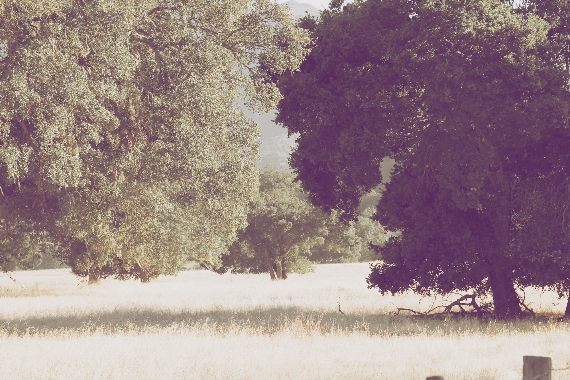 A pale shot of a group of leafy trees in a field