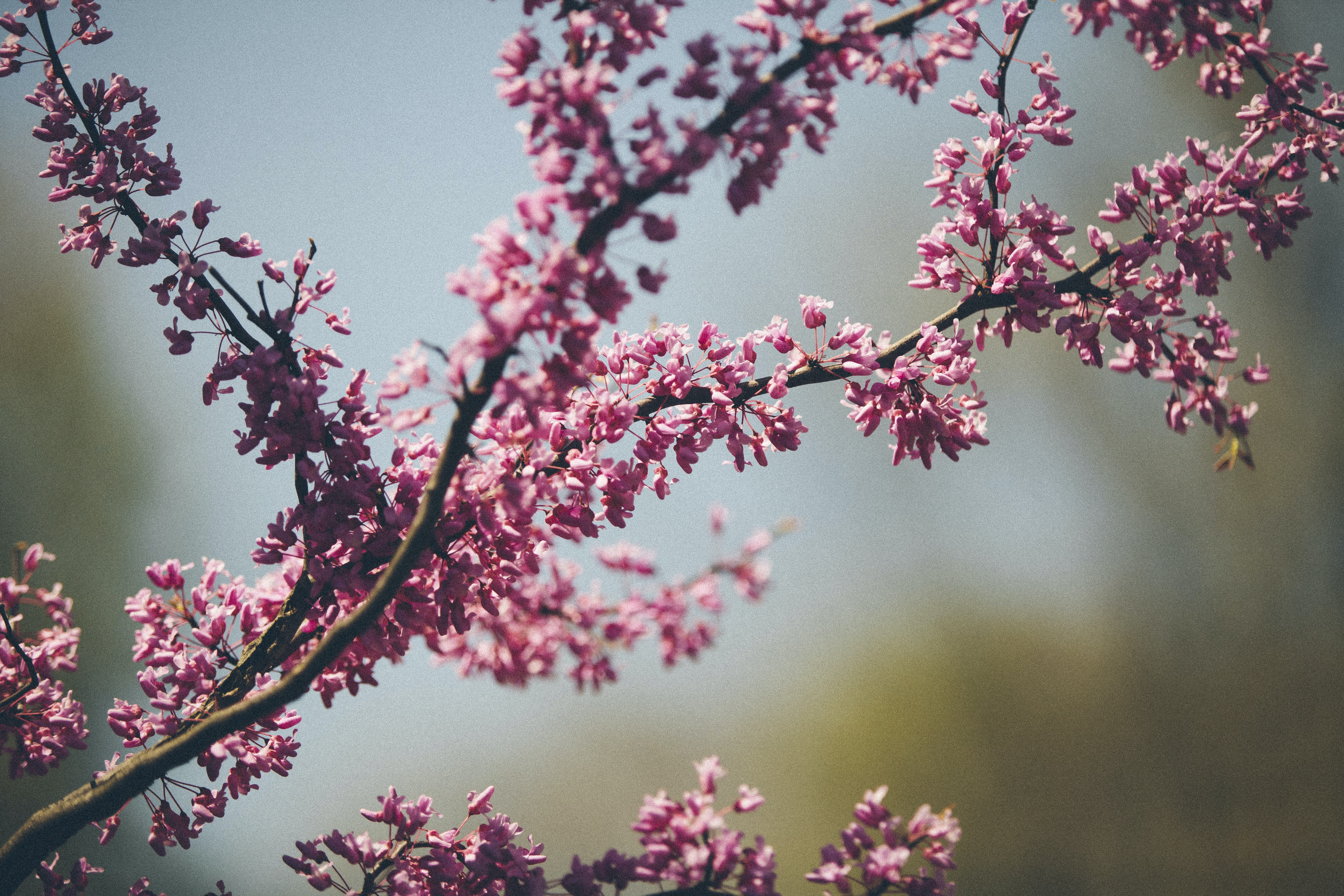 A tree branch covered in delicate pink flowers