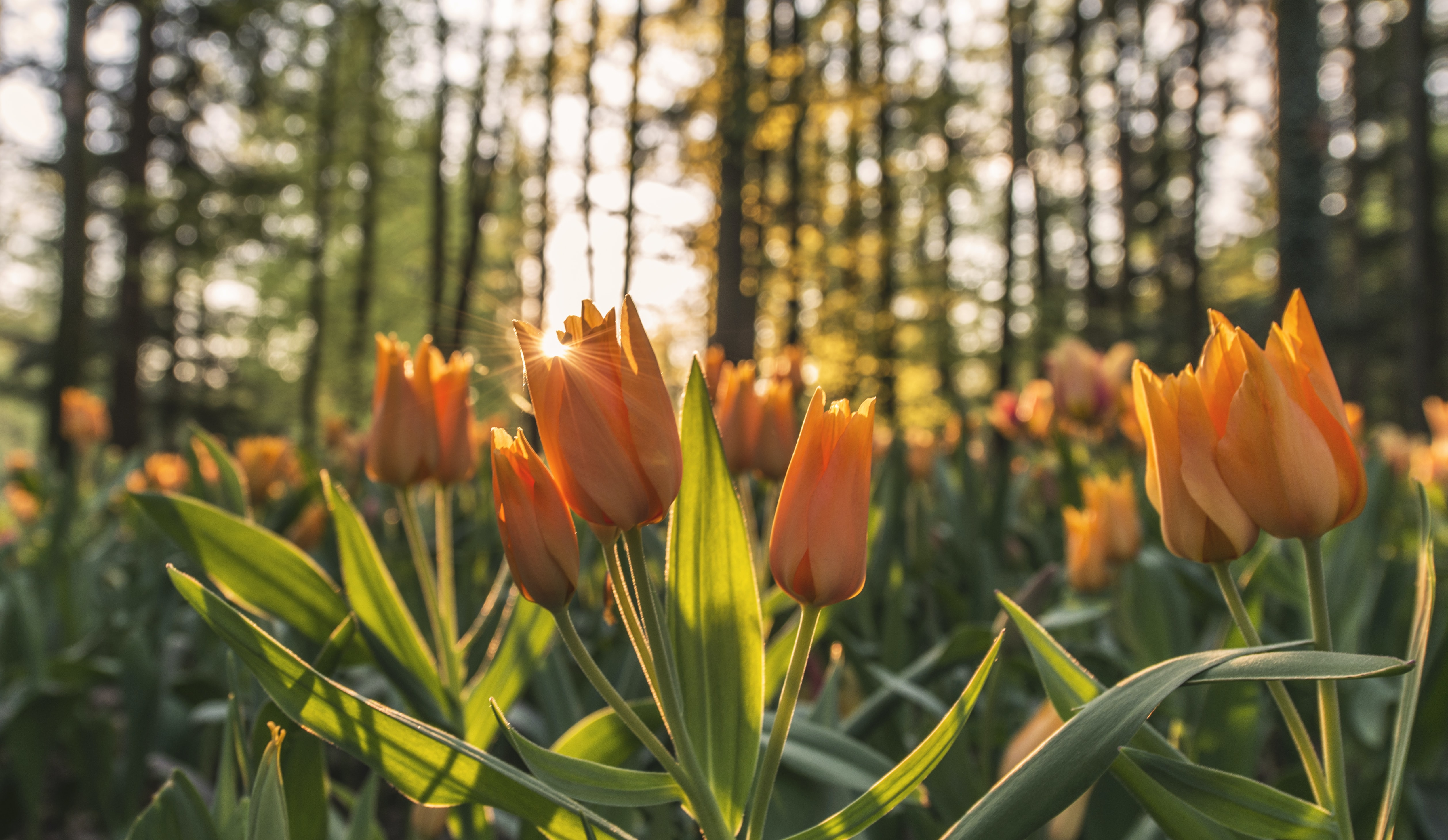 Sunset shot of orange tulip flowers in nature in forest in Spring