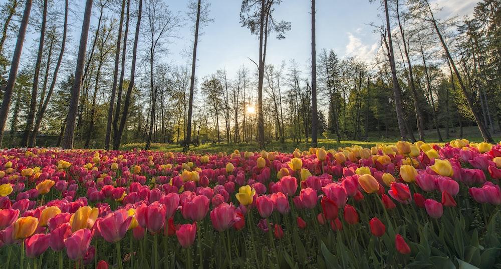 pink-petaled flower field