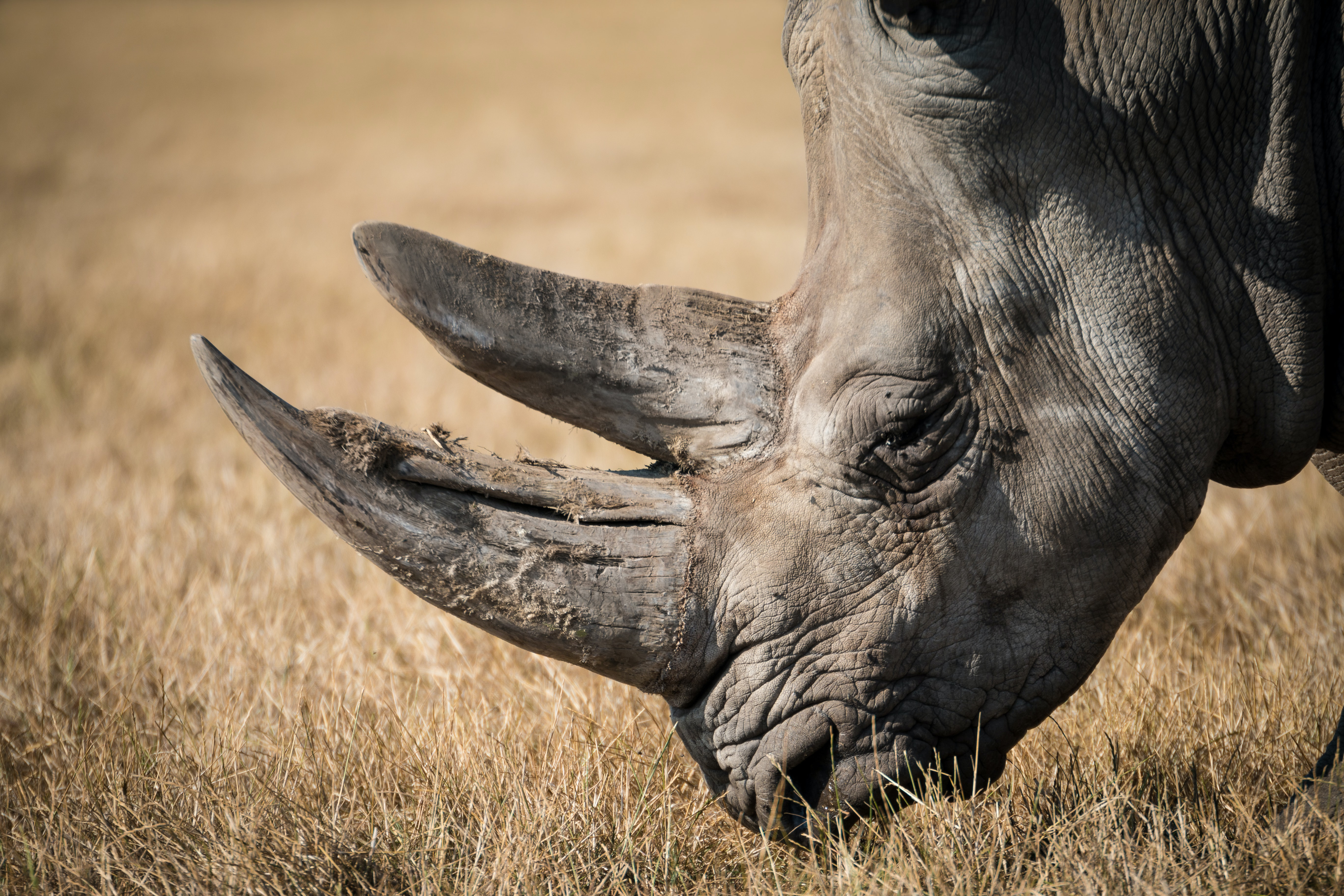 A close-up of the head of a rhinoceros grazing on dry grass