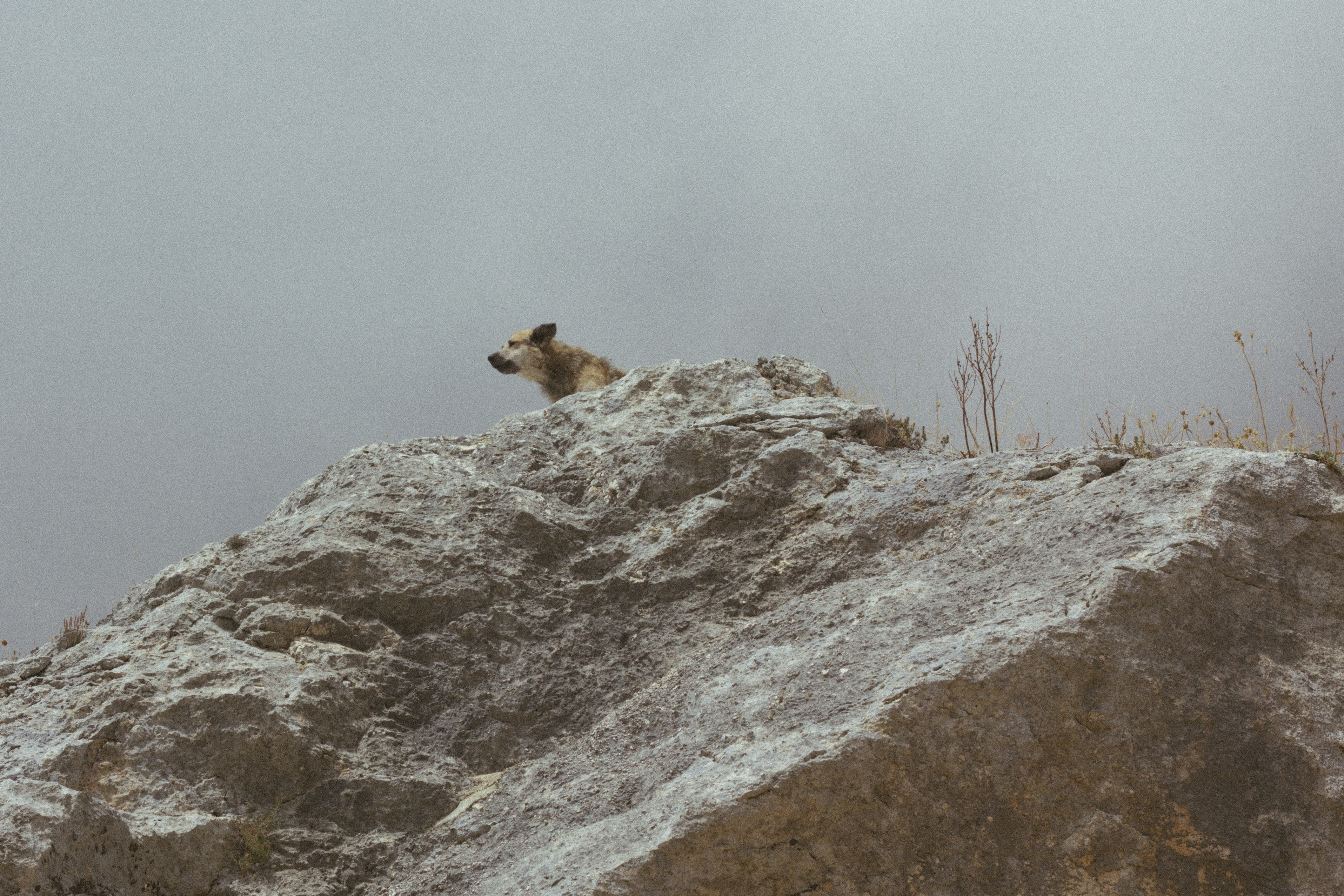 A wild dog on top of a rocky ledge looking off into the distance