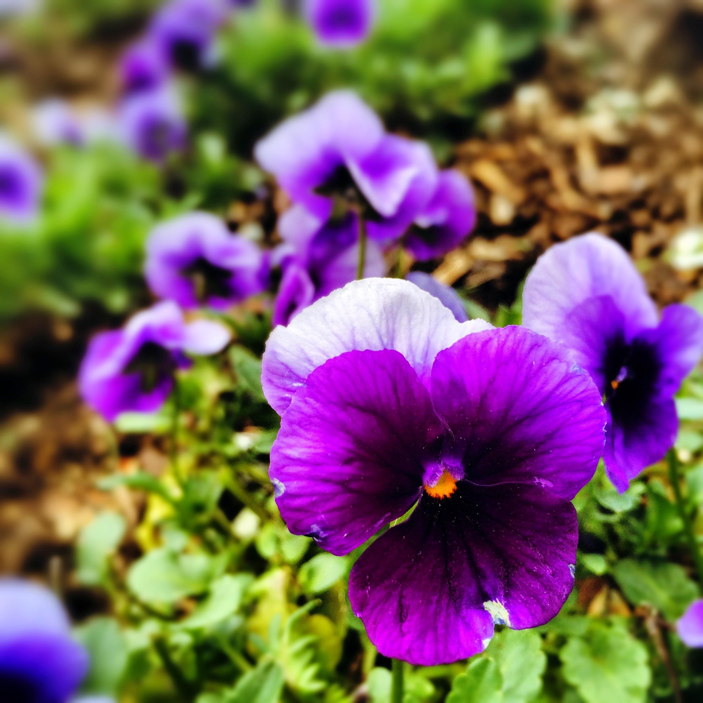 Many purple flowers growing outside.