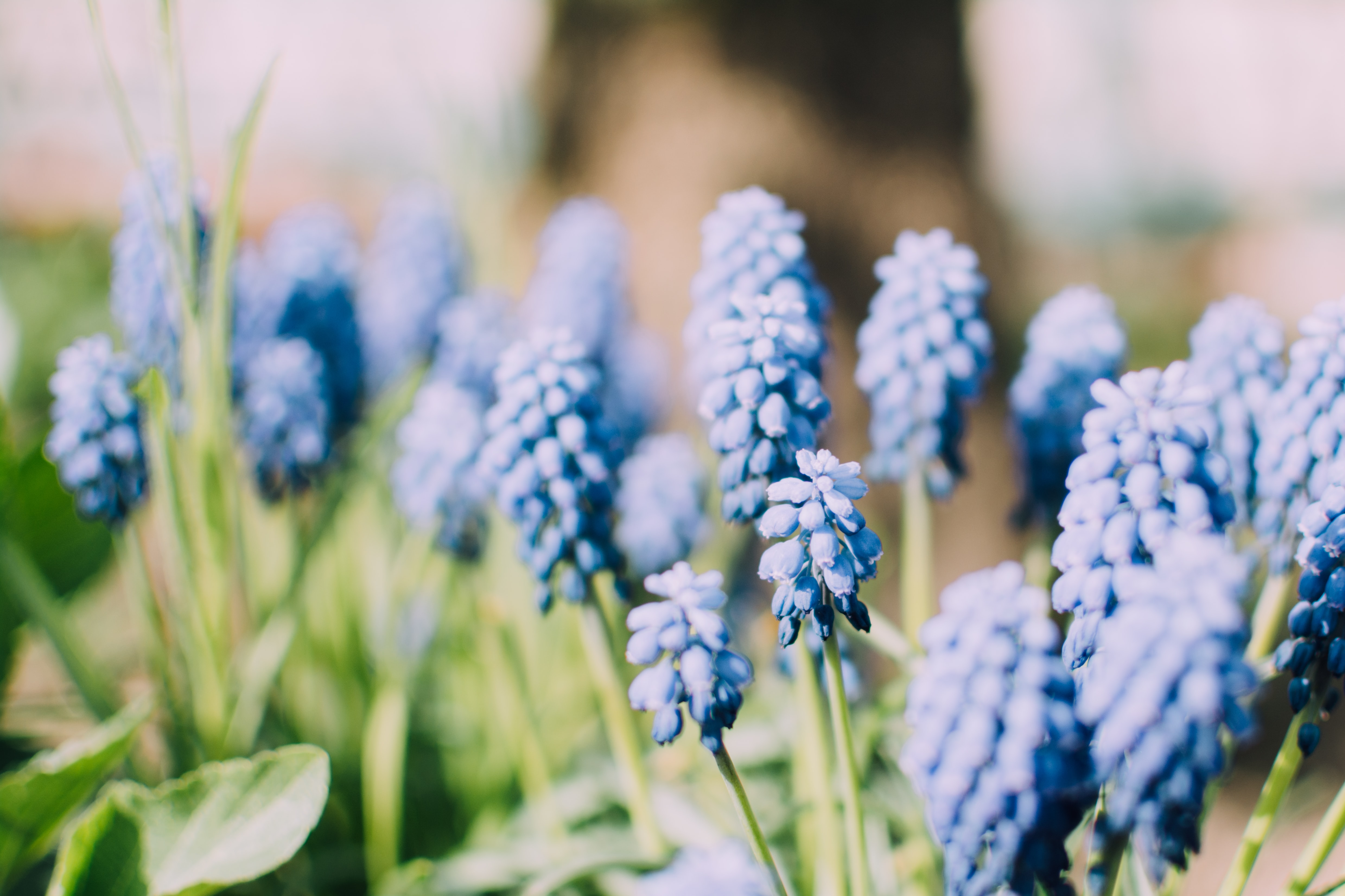 Distinctive blue flowers with green stems in garden in Spring