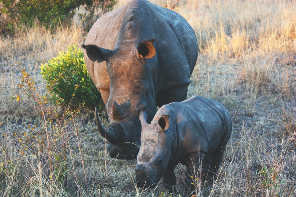 two brown rhinos