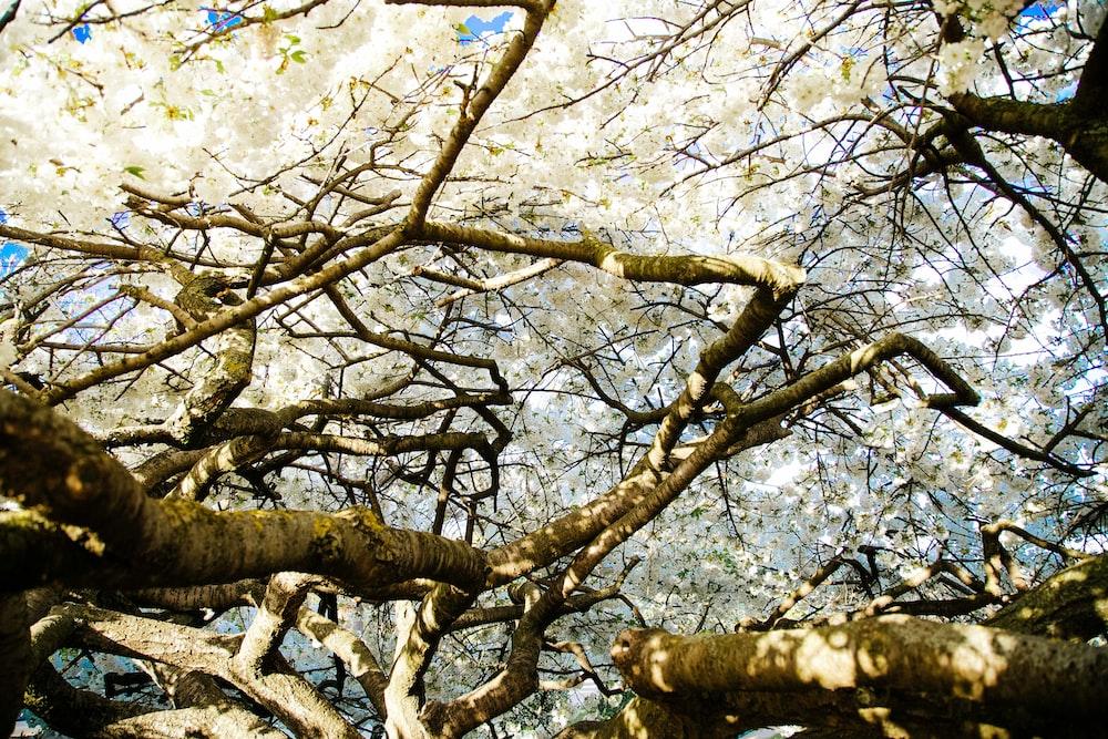 white-leafed tree