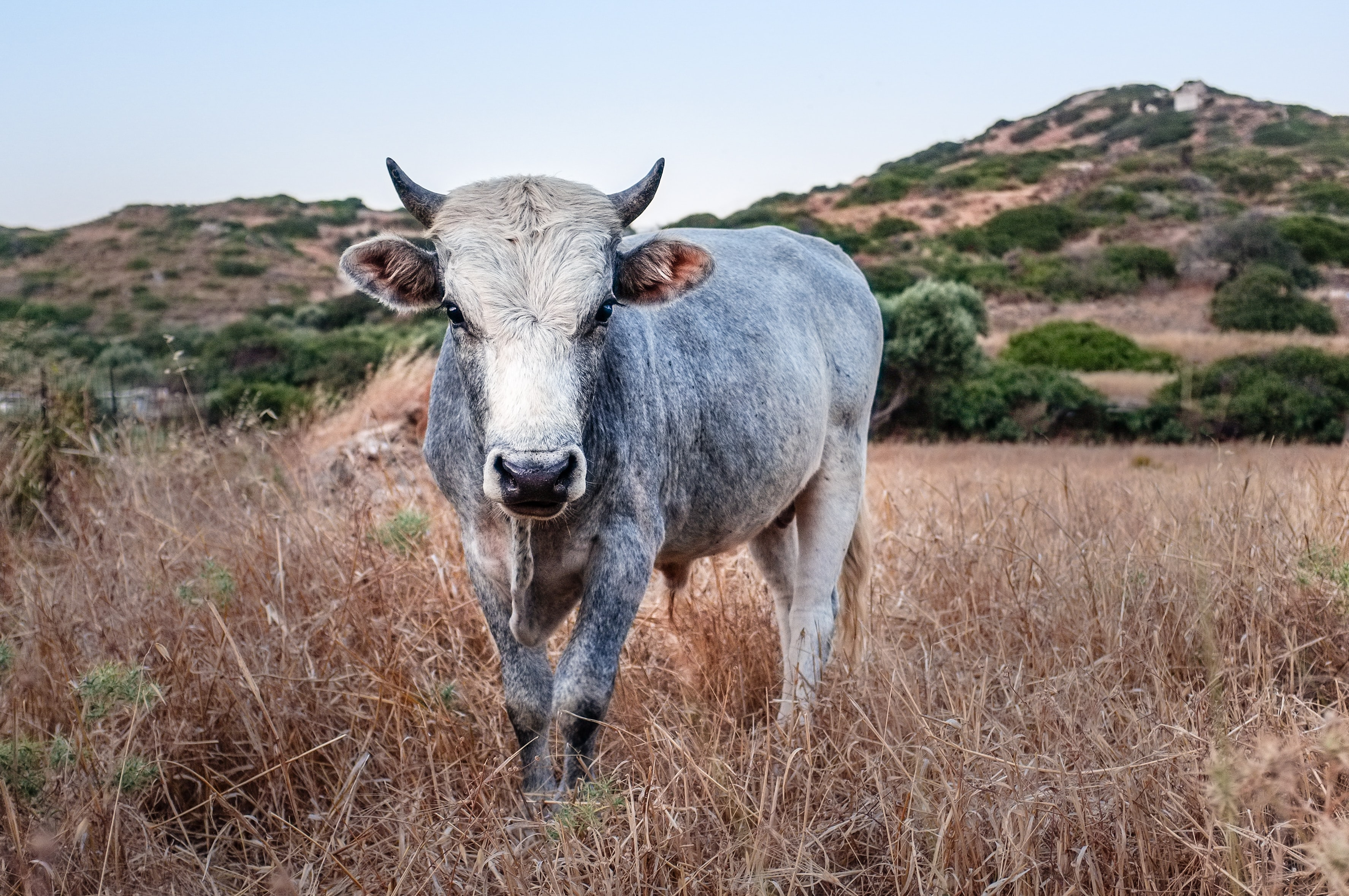 gray cow on grass field during daytime