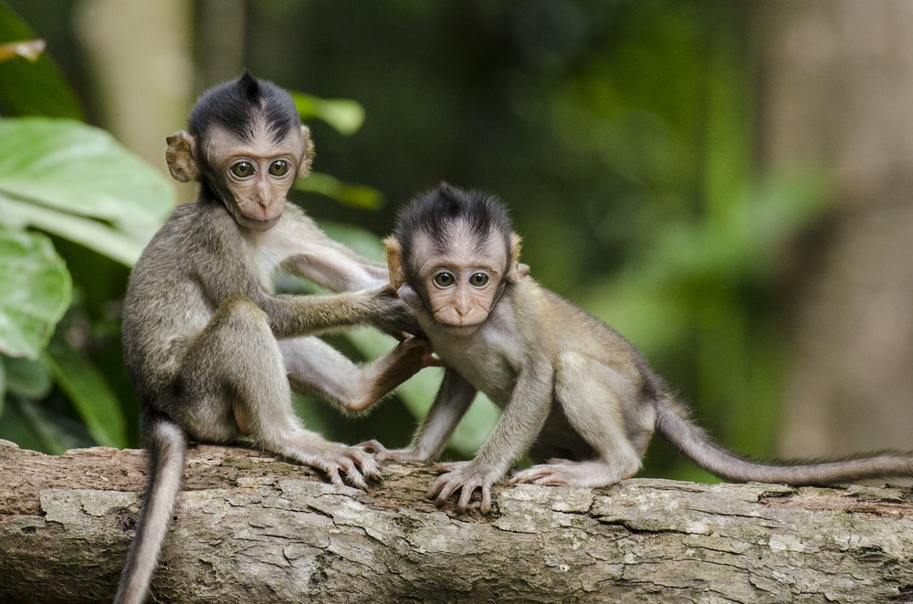 two baby monkeys on gray tree branch