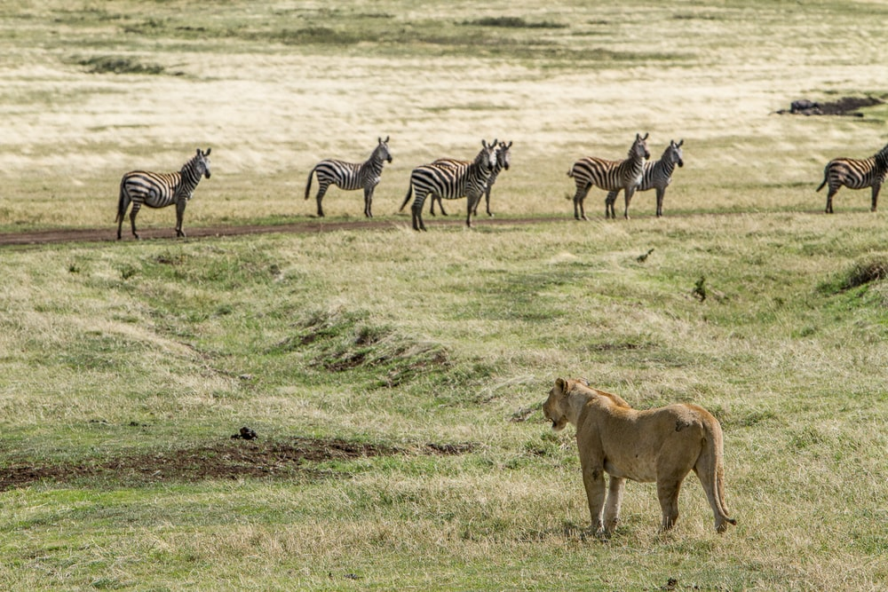 brown Cheetah hunting zebras