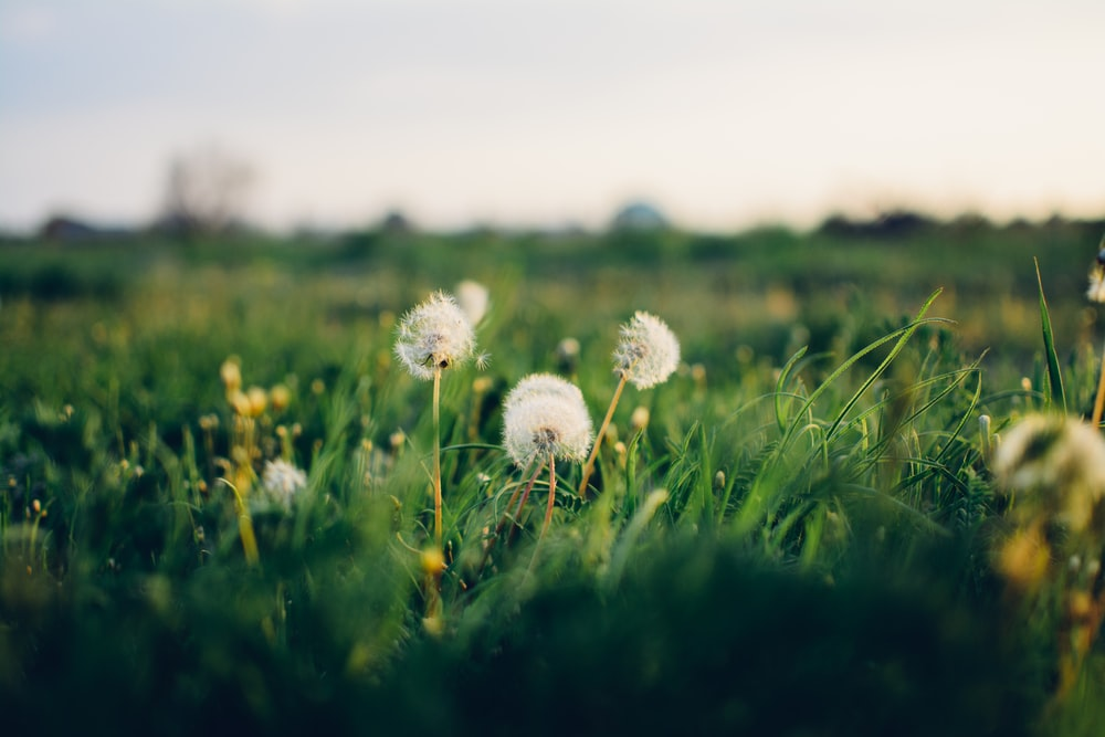 dandelion flowers blooming