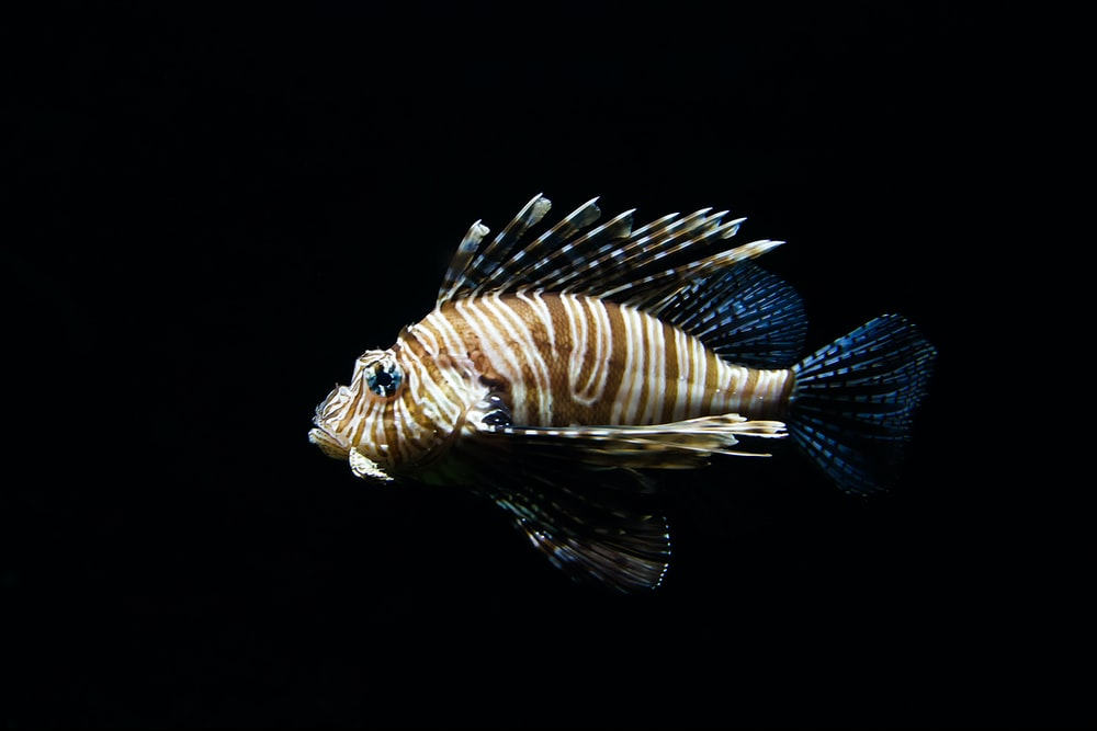brown and blue fish