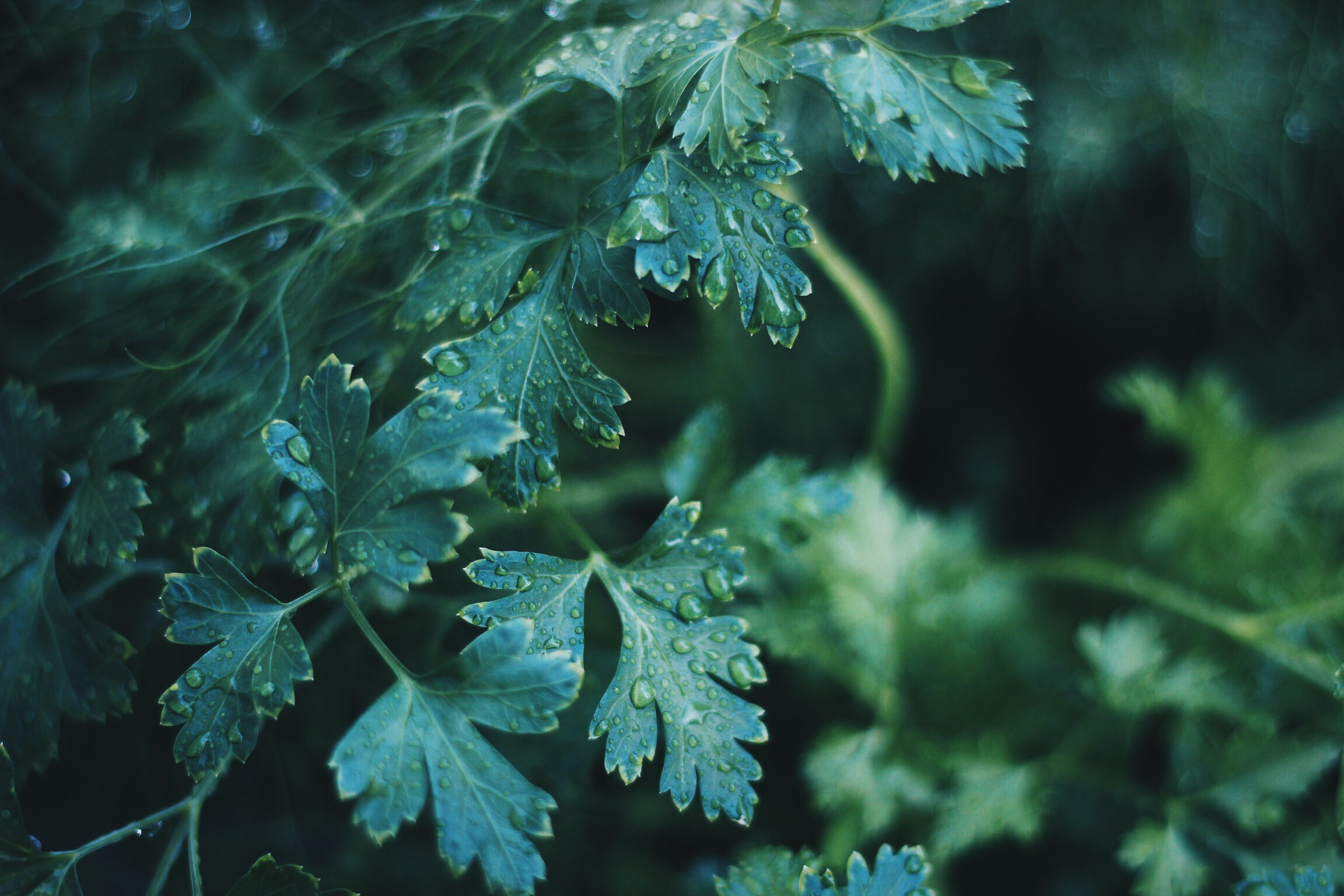 A macro shot of serrated dark green leaves covered with droplets of water