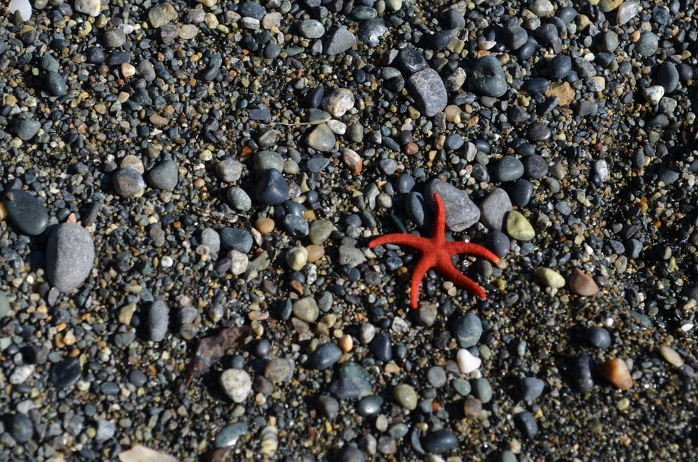 starfish in the pebbles