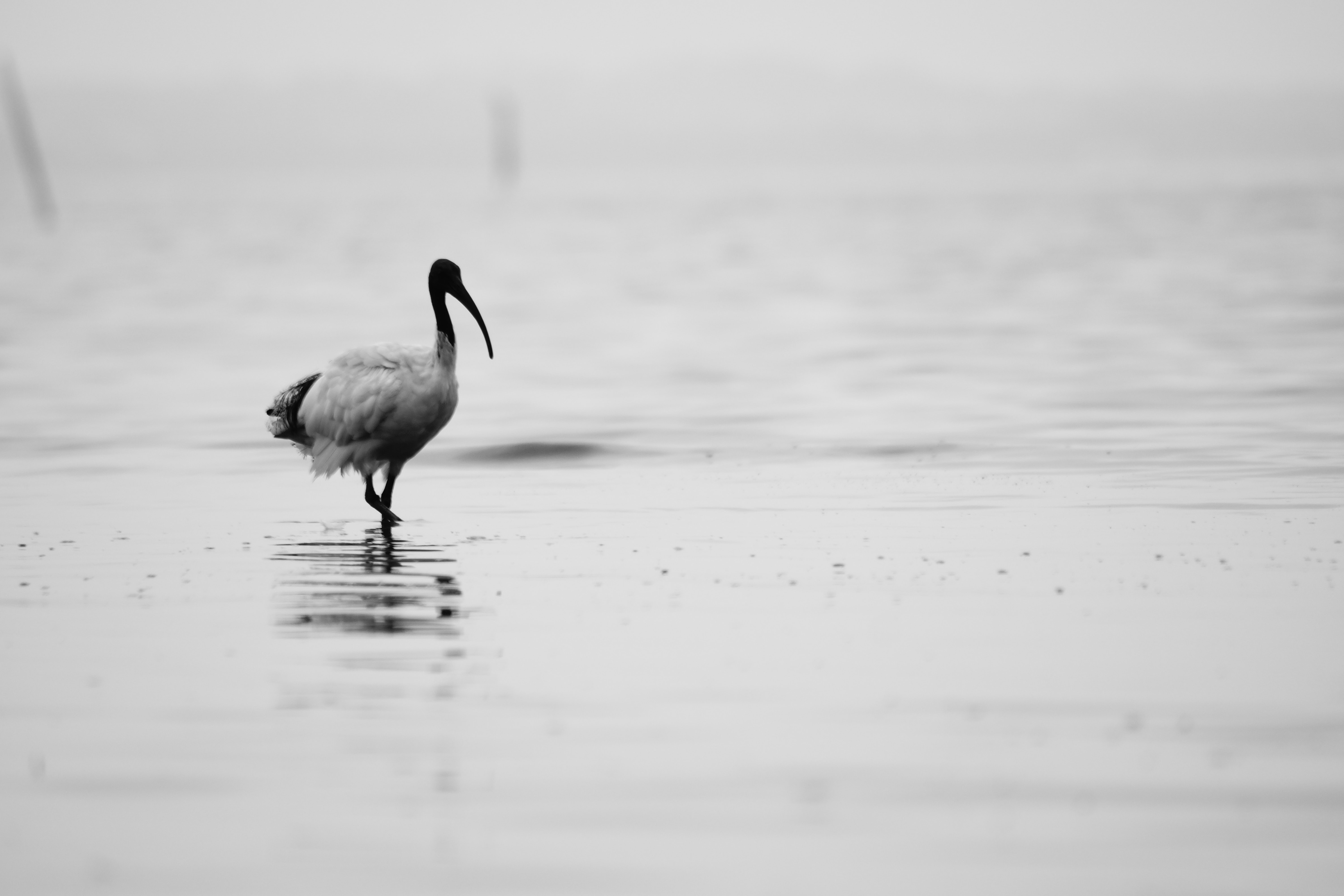 A stork wading through the water on a gray day