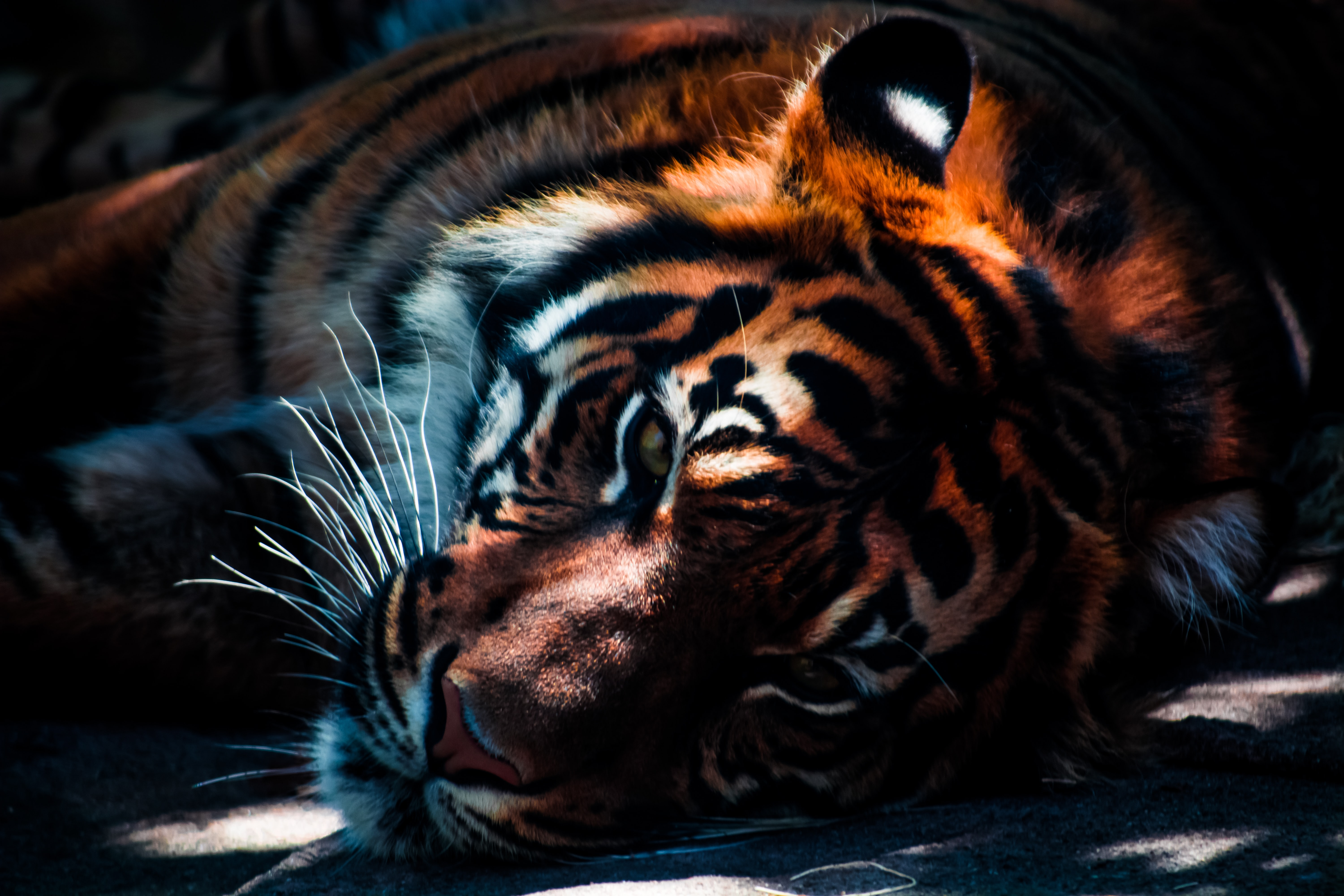 A close-up of the head of a majestic tiger resting in the shade