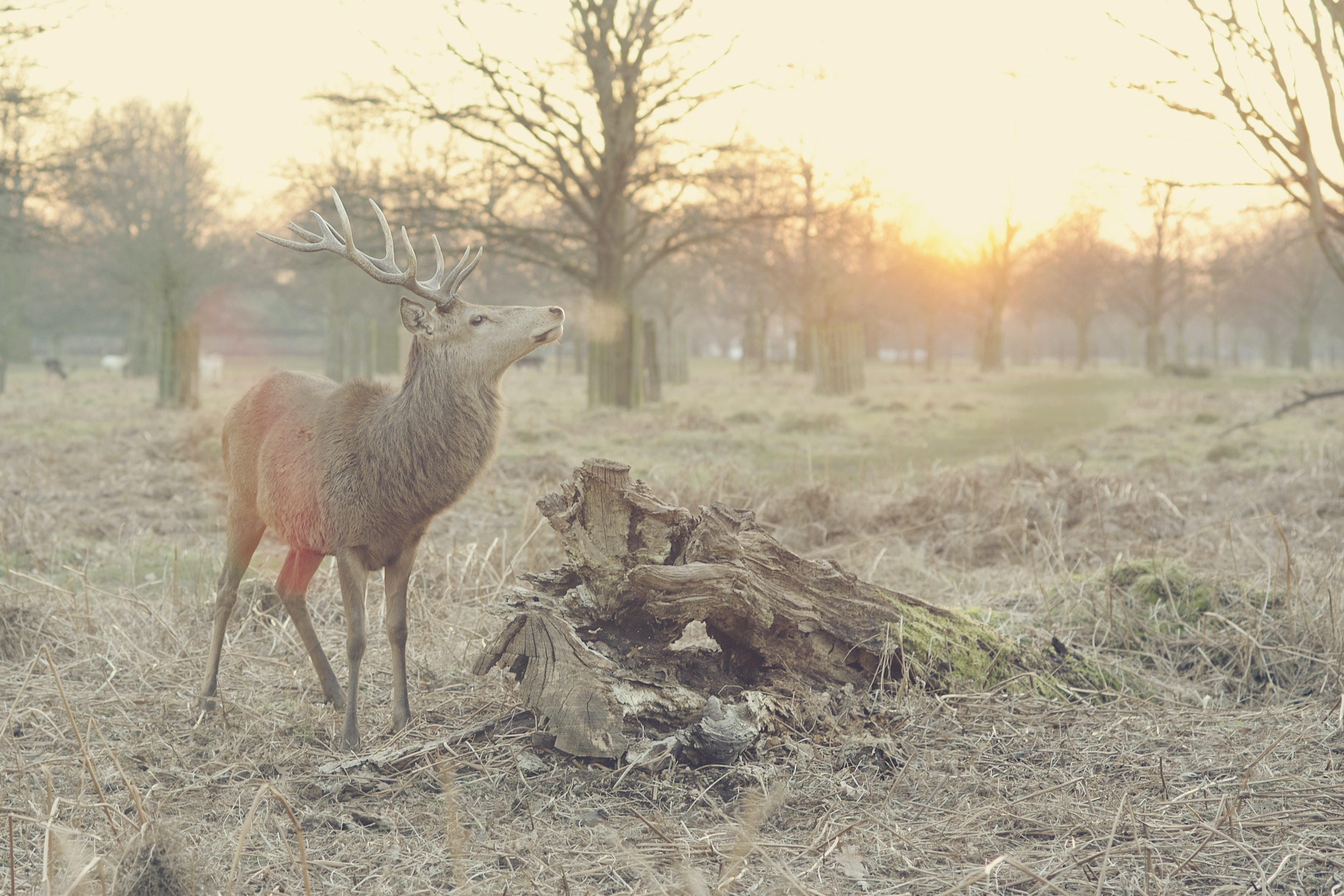 A deer proudly raising its head in the middle of a dry glade at sunset