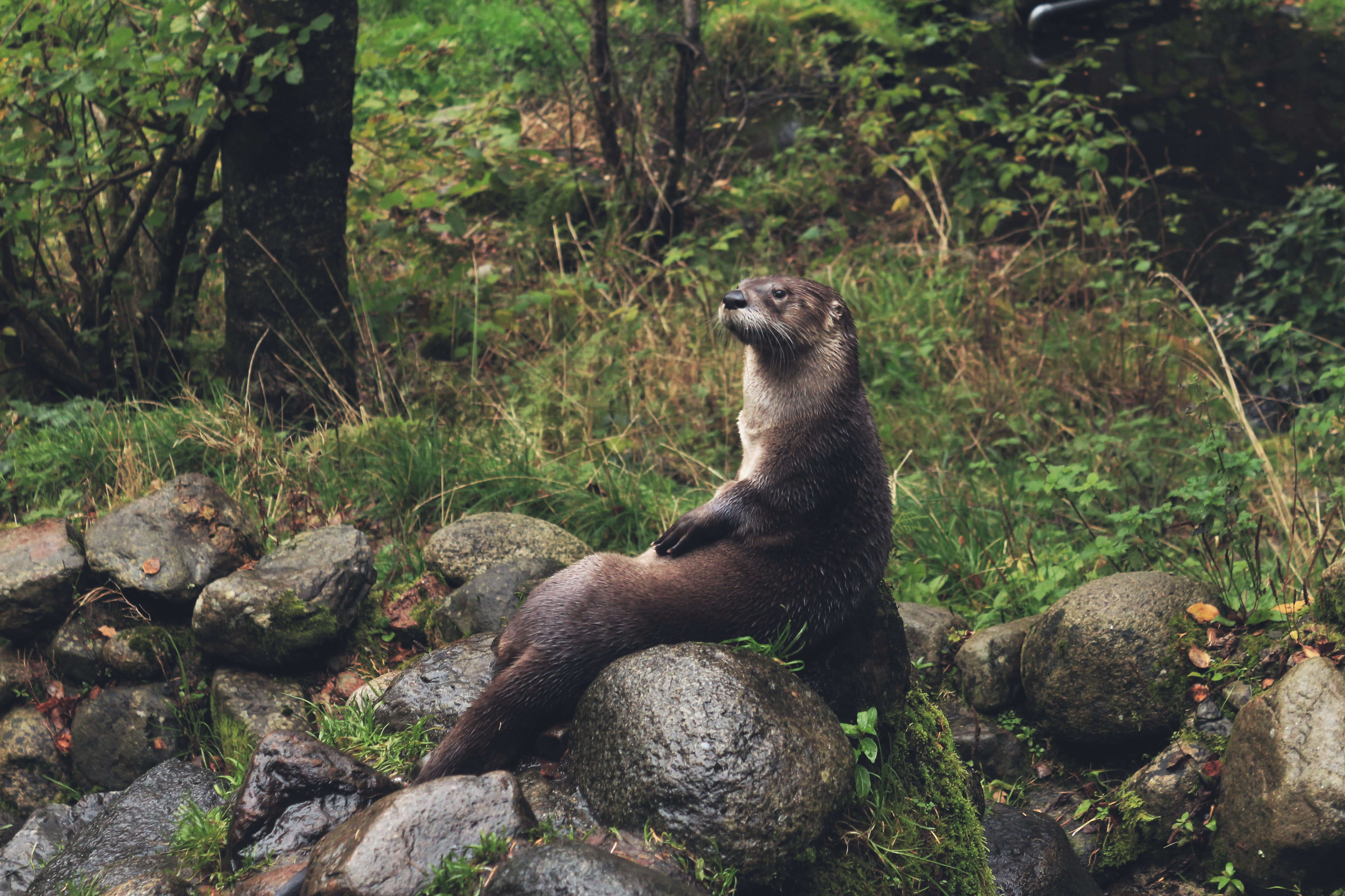 An otter seated comfortably on moist round rocks