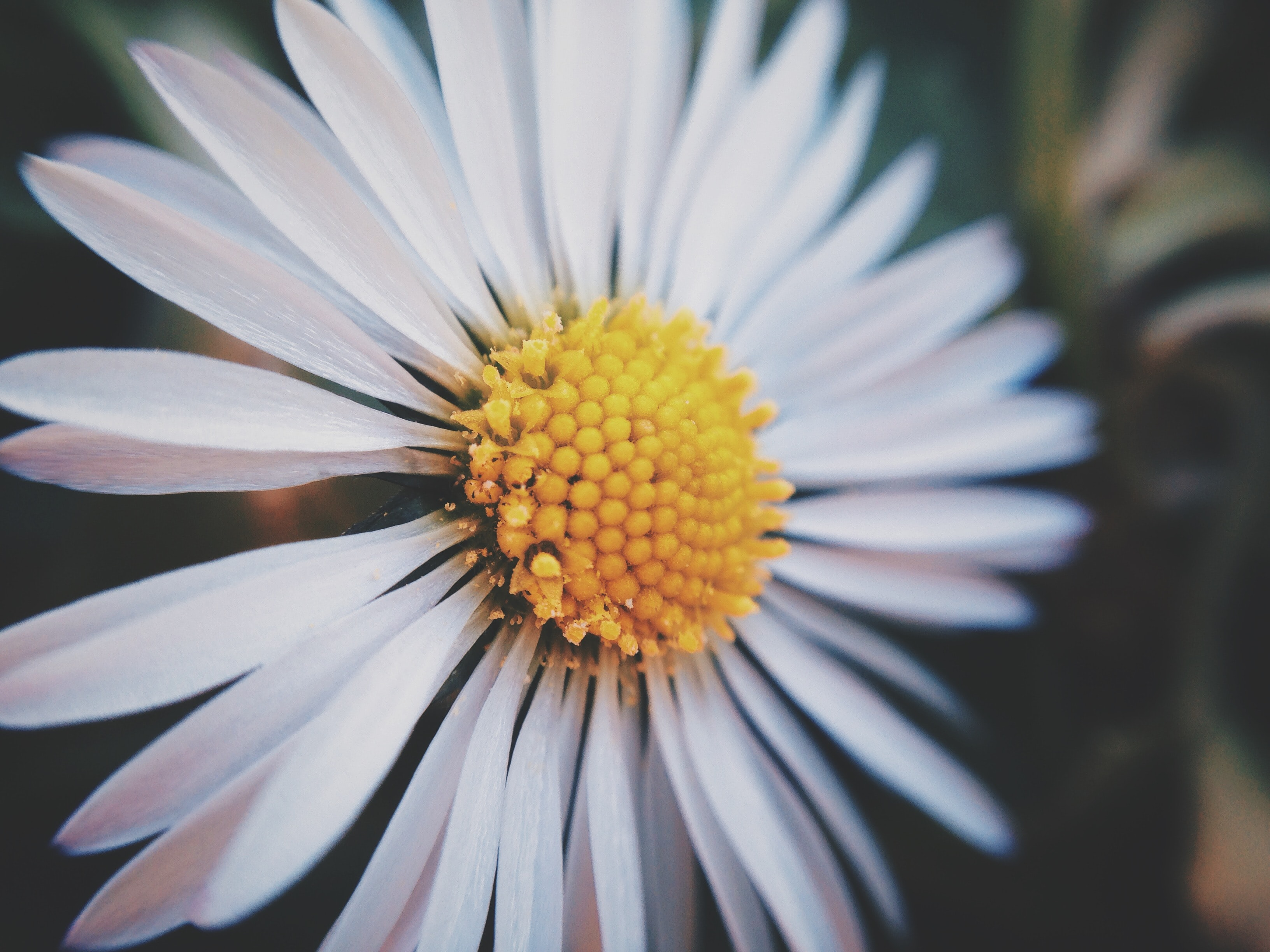 A macro shot of a white daisy flower with a yellow center