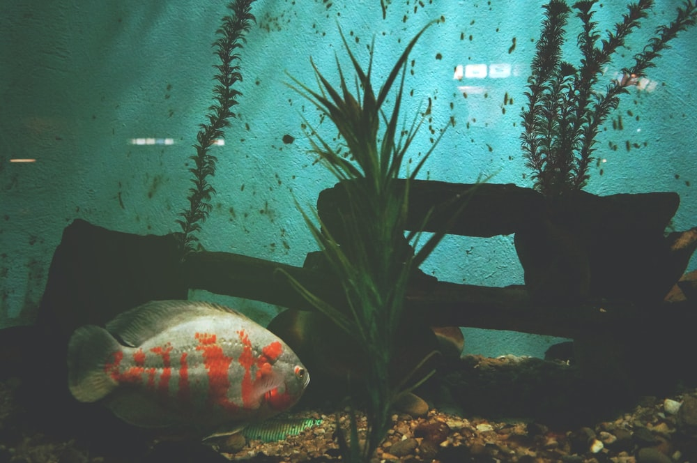 gray and orange fish beside green leafed plant