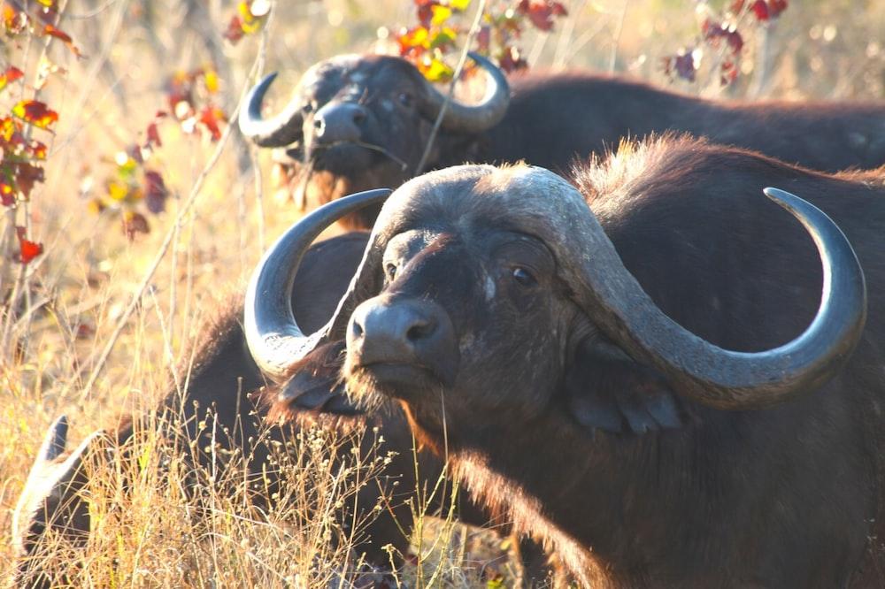 shallow focus photo of black water buffalo