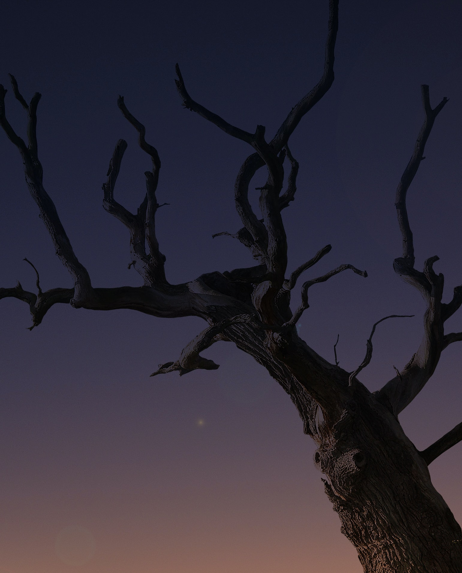 A portrait view of desert tree in silhouette form in the night at sunset