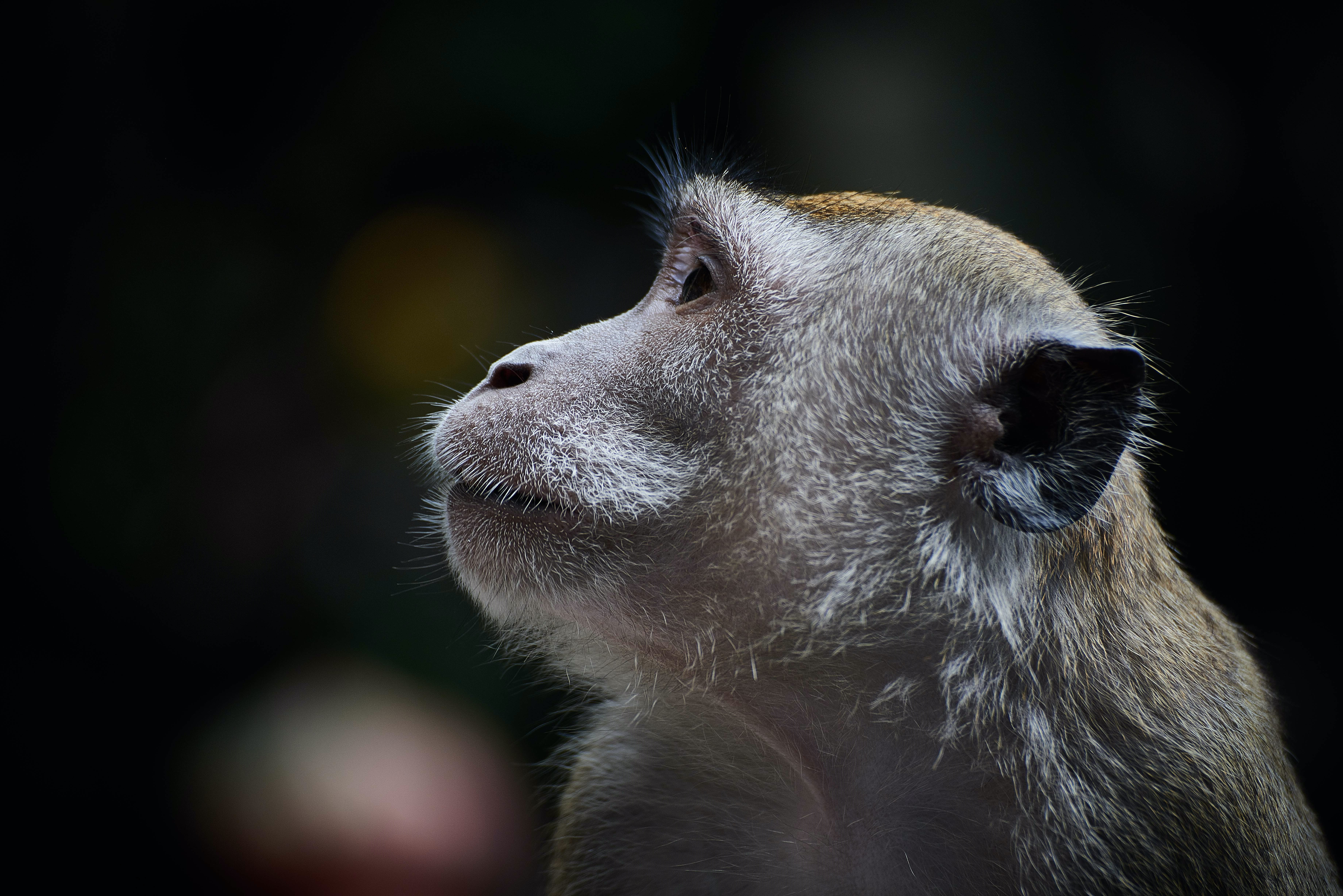 A macro shot of a monkey attentively looking to the side