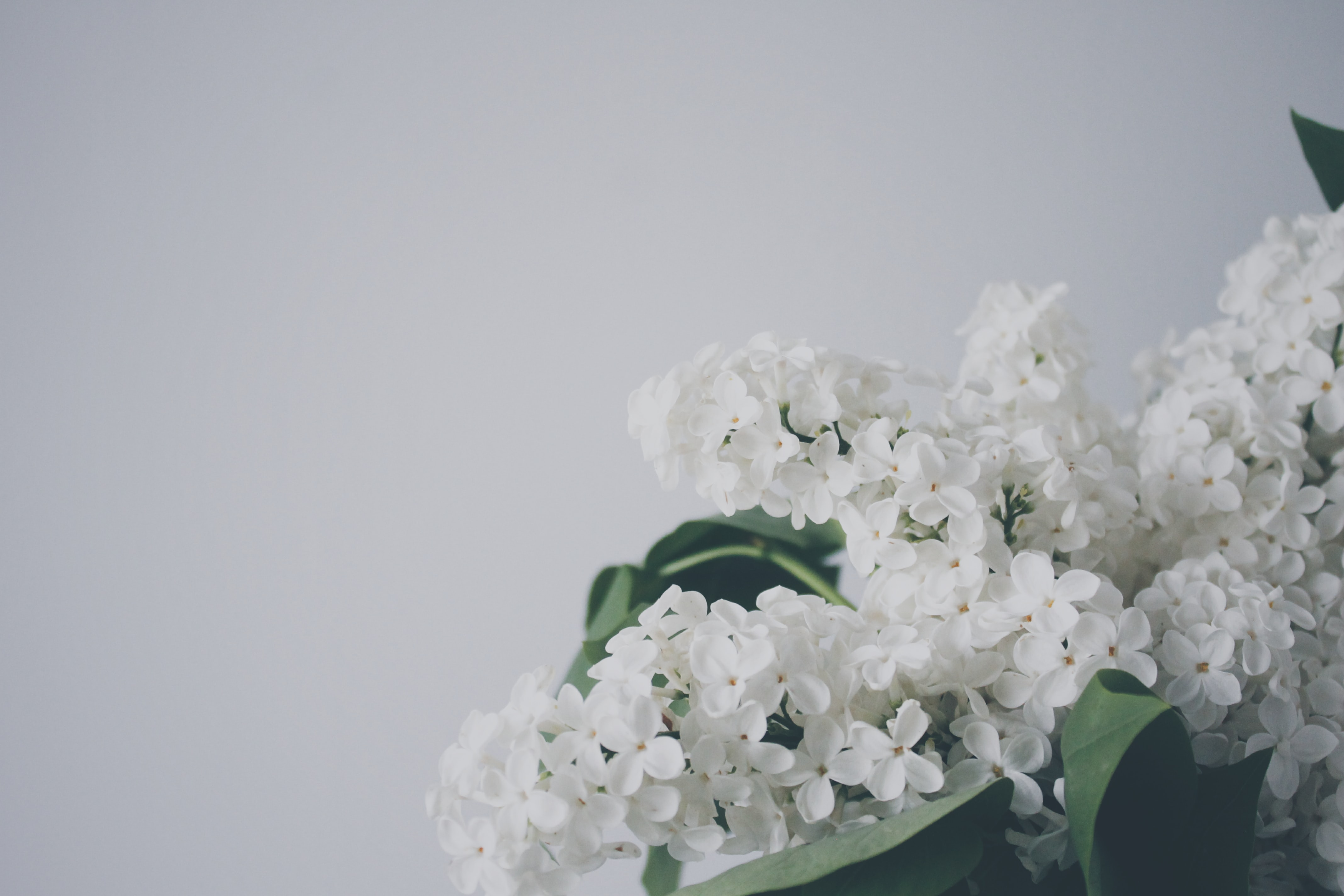 A close-up of white lilac flowers against a pale background
