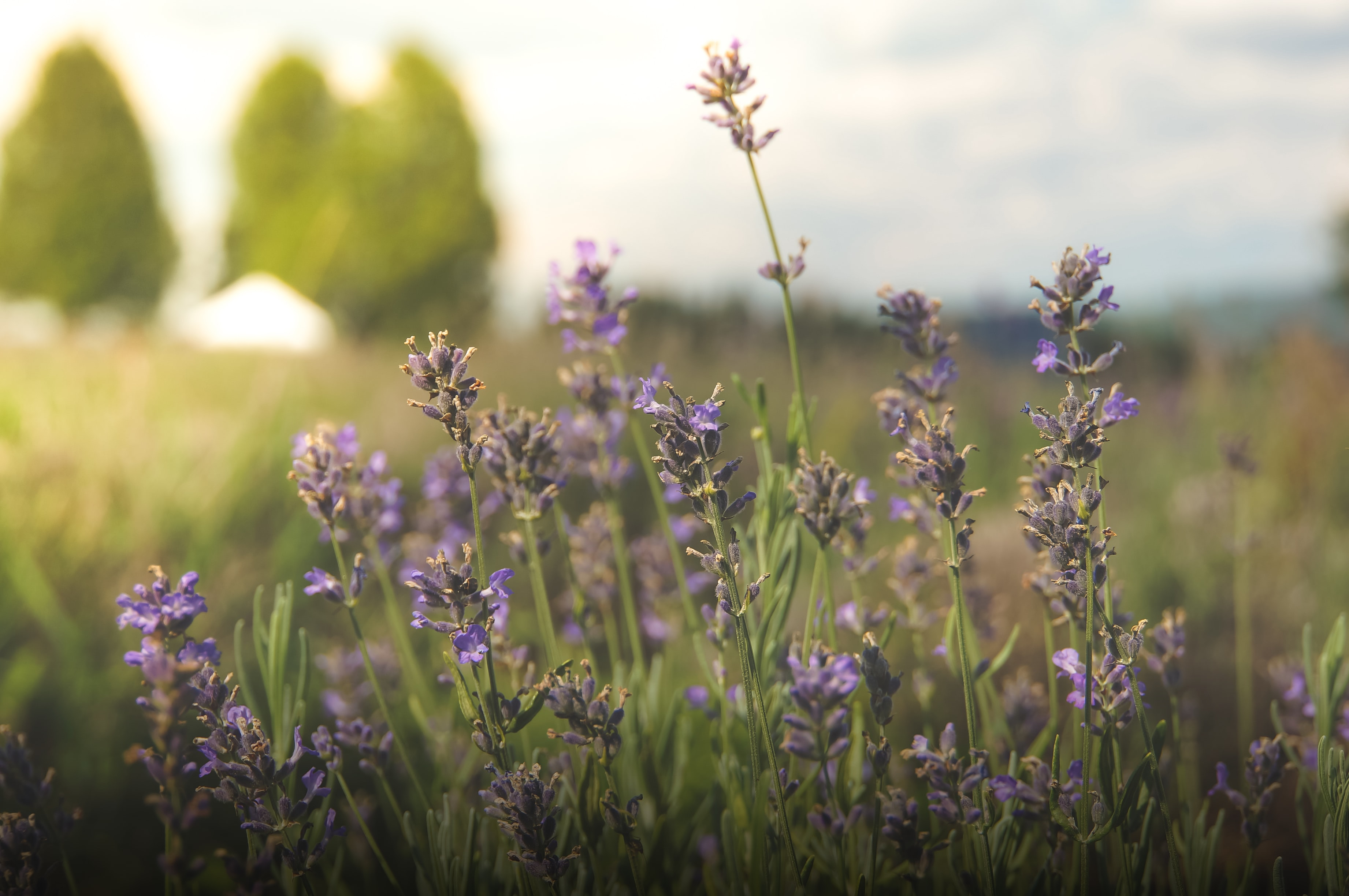Lavender flowers in a sunny meadow