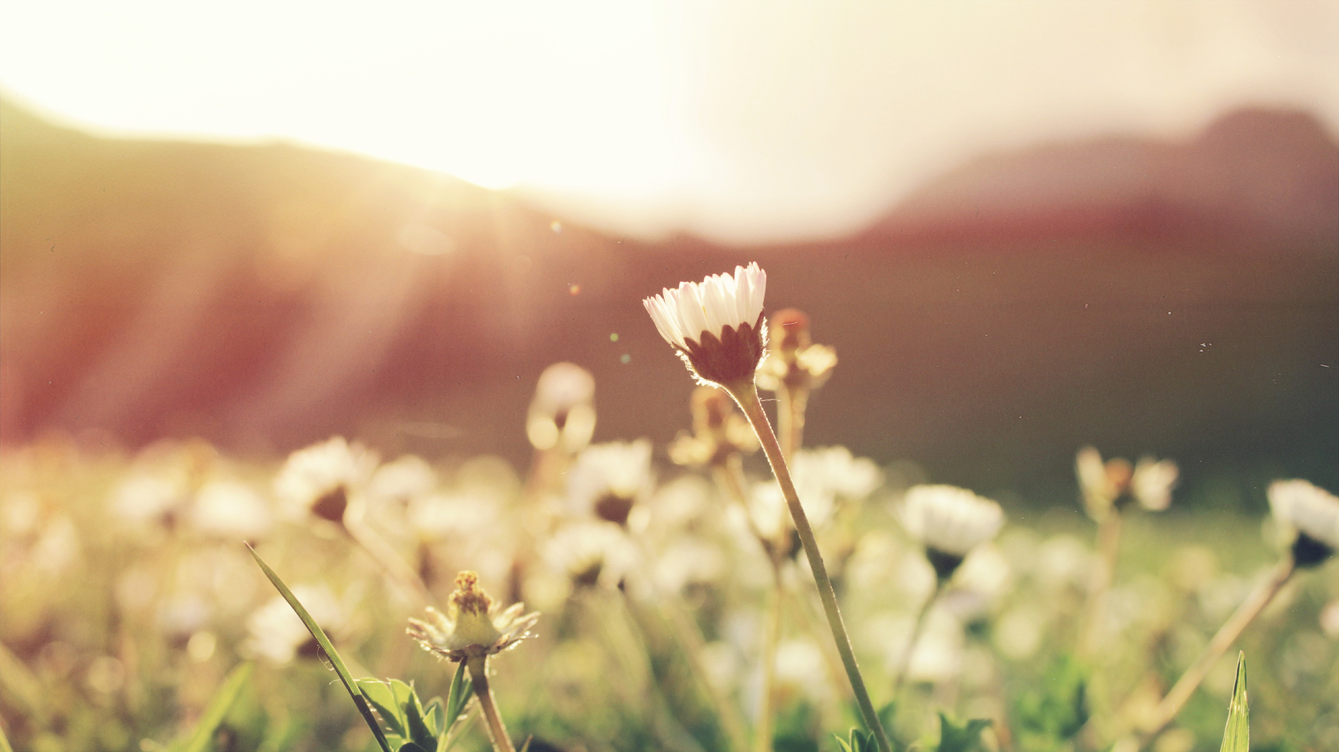 Daisy flowers growing at sunrise in meadow in Spring