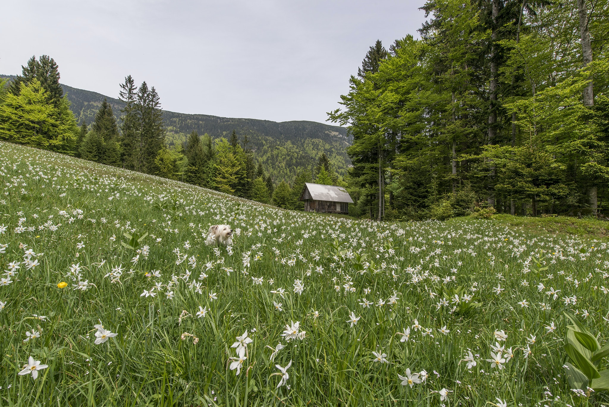 A dog in a meadow full of white flowers with a wooden cabin at the back