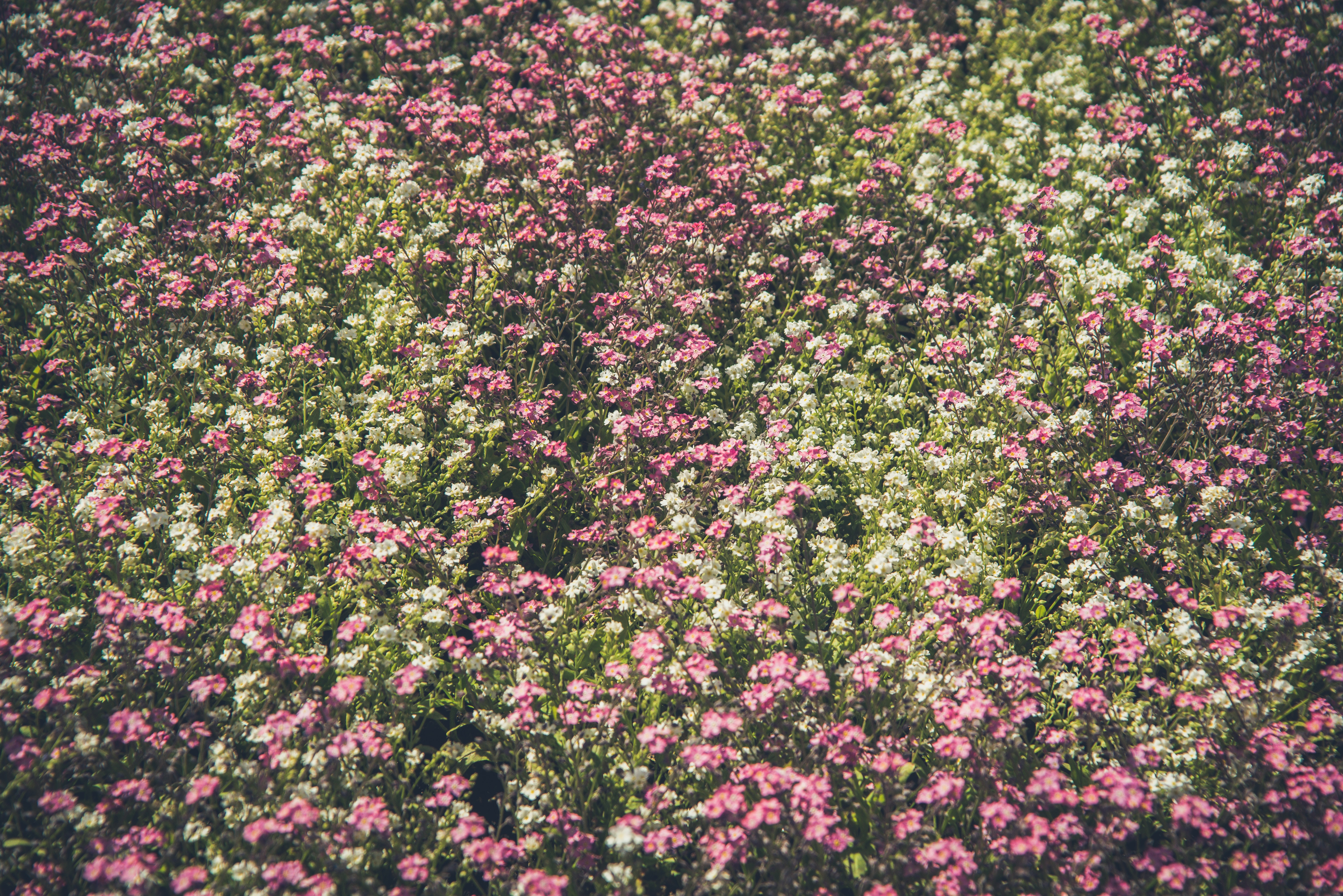 A dense patch of white and pink flowers in a park