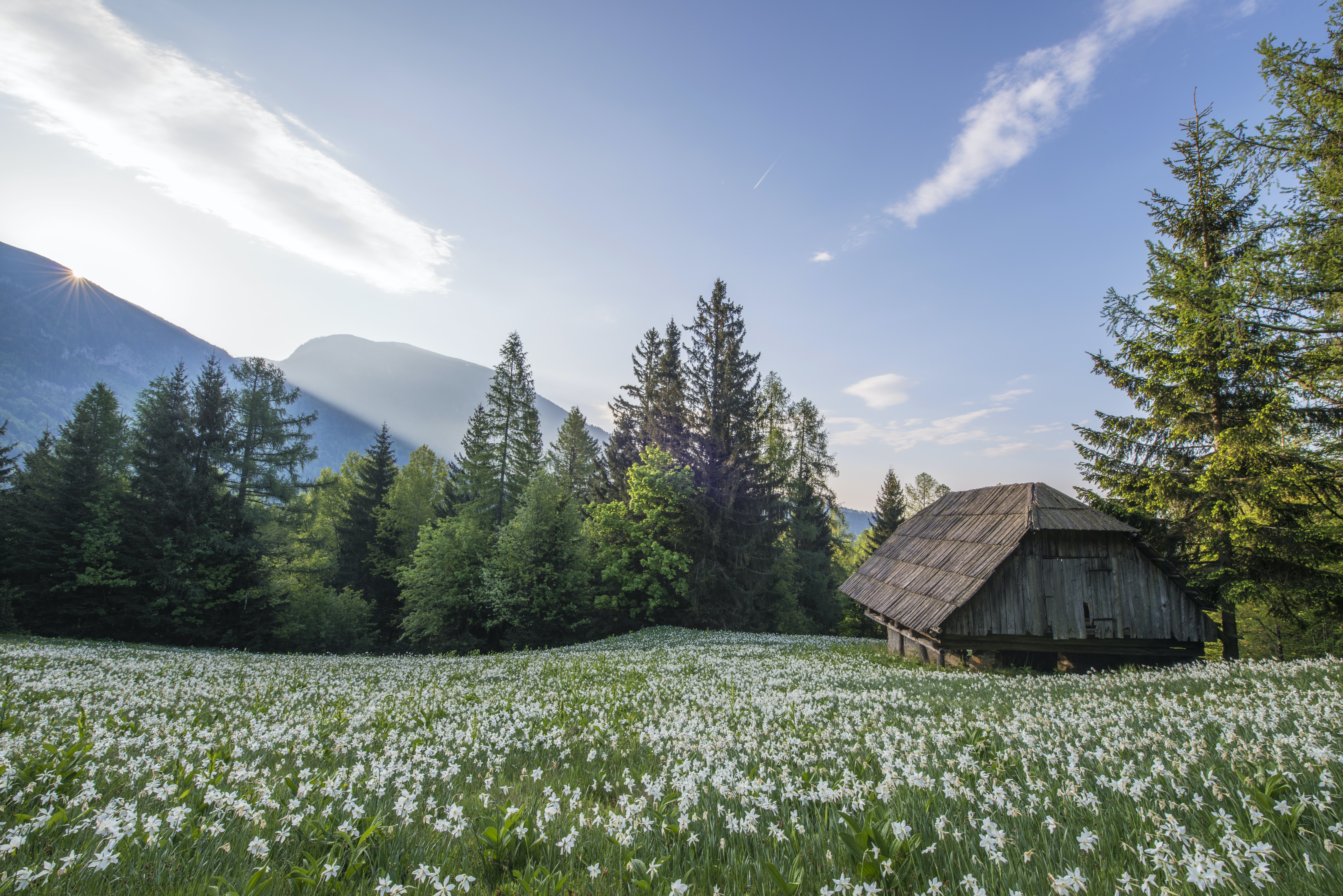 A chalet under pine trees at the edge of a meadow covered with white flowers