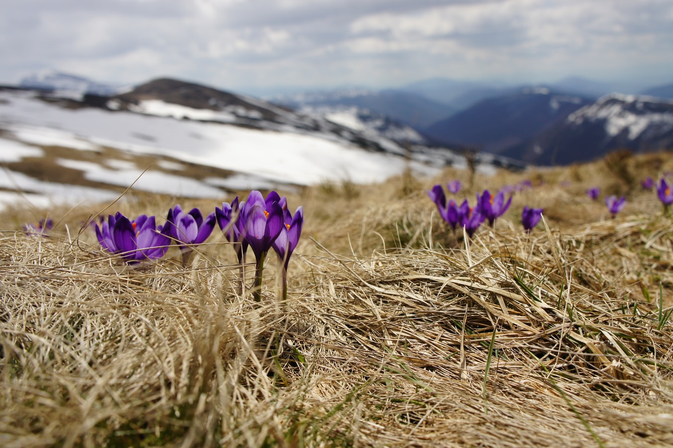 Biegun Wschodni - Blooming saffrons in the mountains