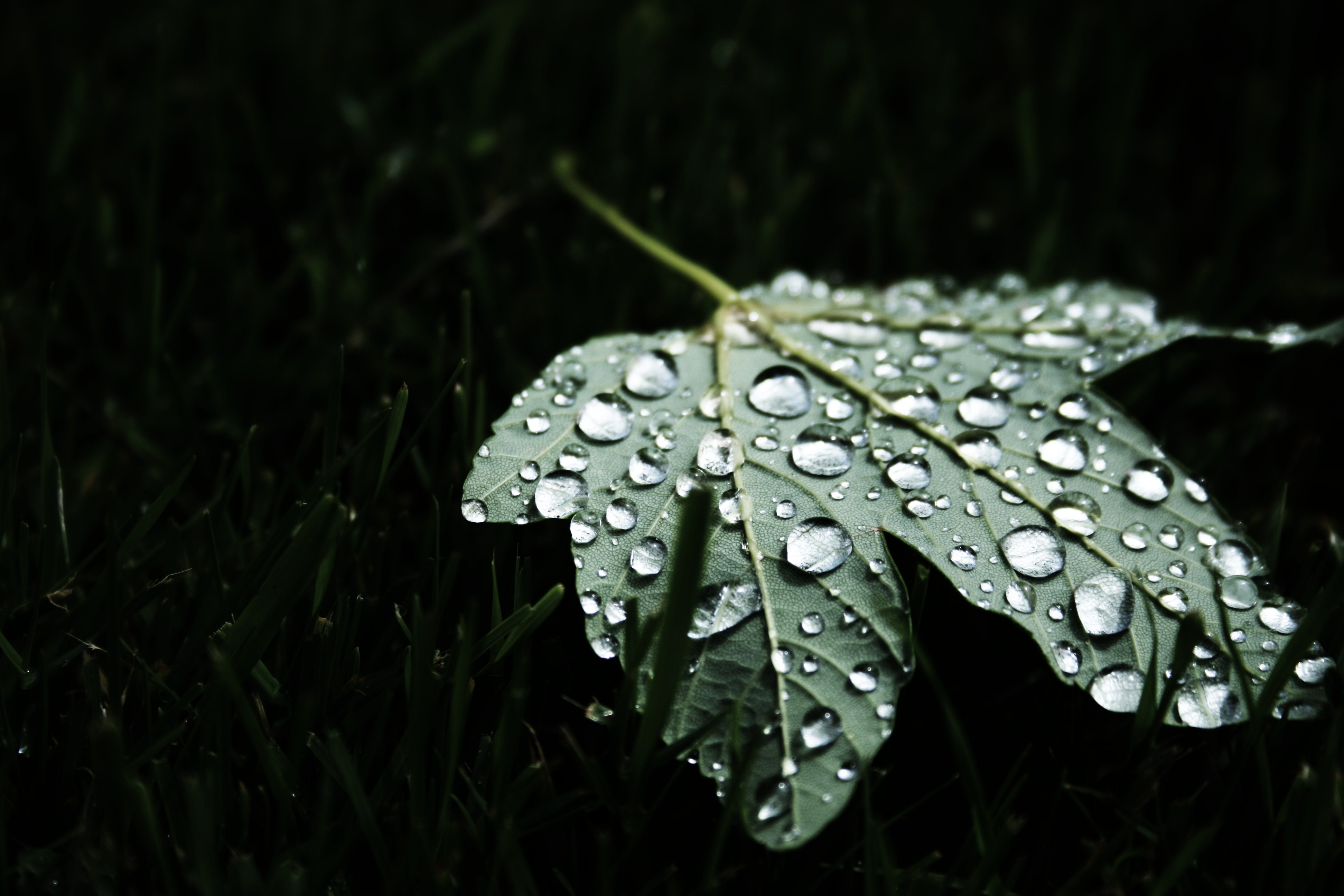 A macro shot of large round droplets of water on a green maple leaf