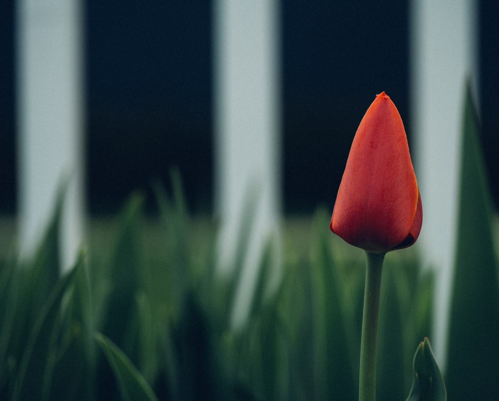 selective focus photography of red tulip flower