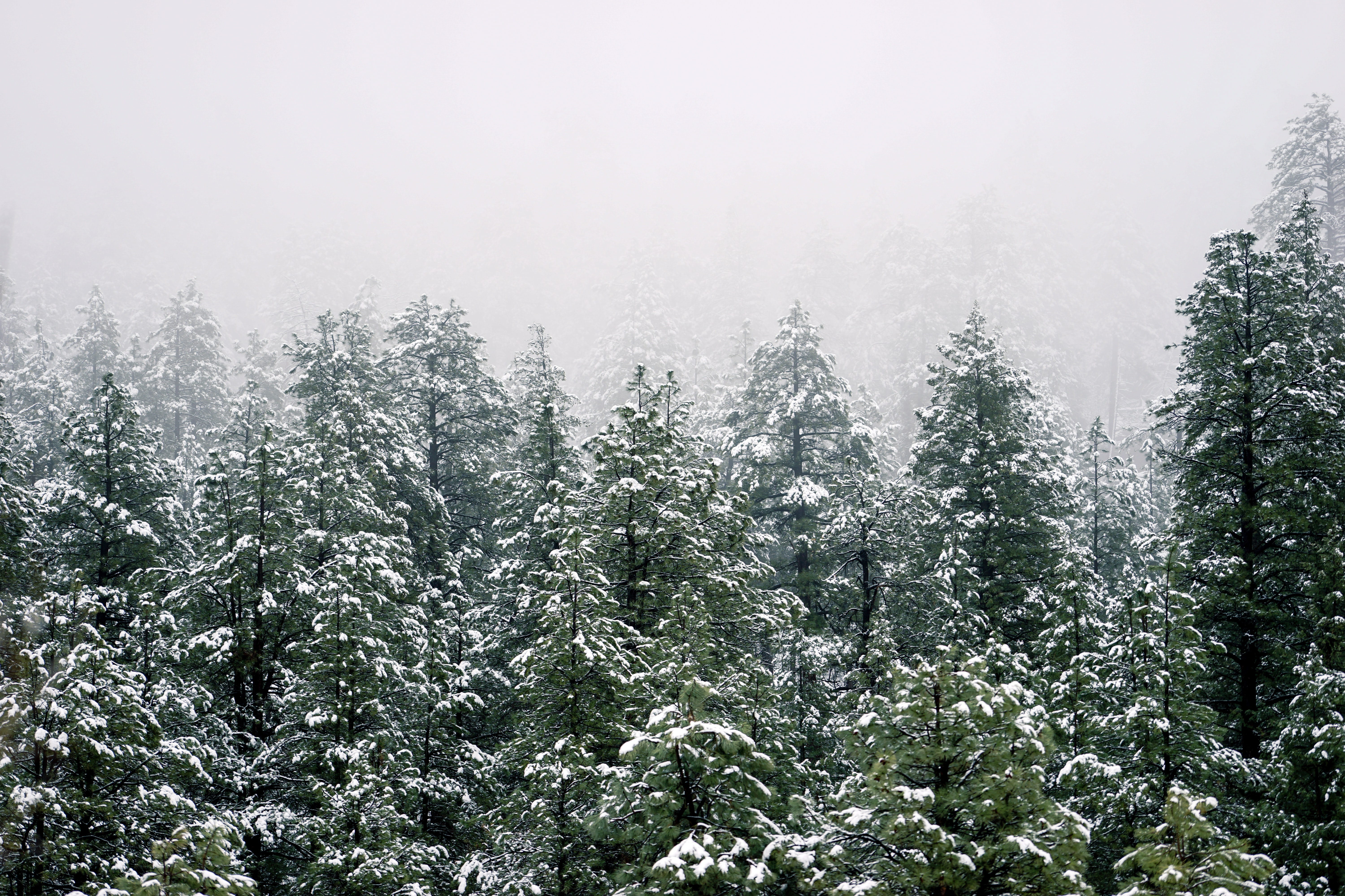 Mist rolling down on a snow covered pine forest