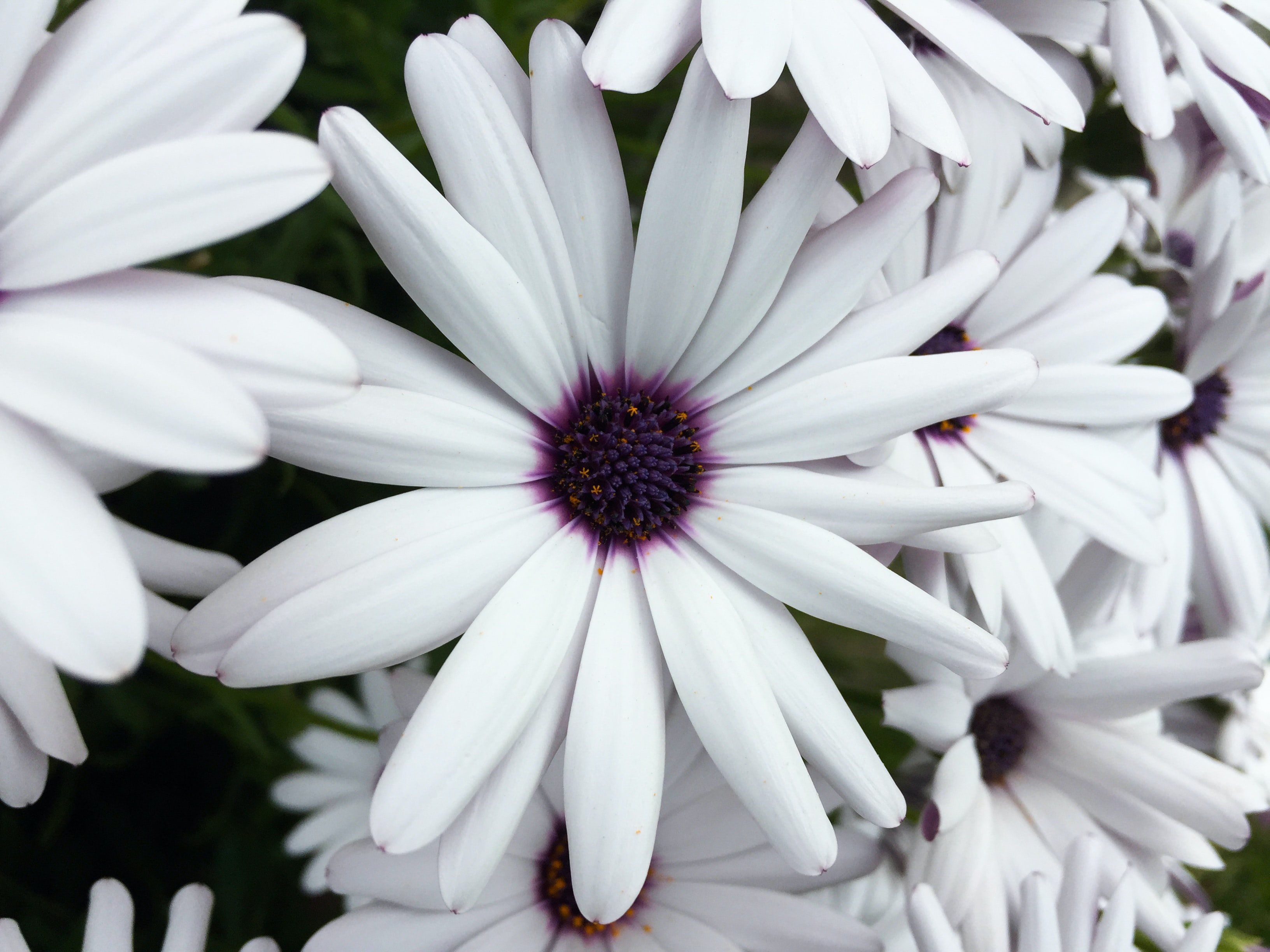Macro shot of a white daisy with a deep violet center