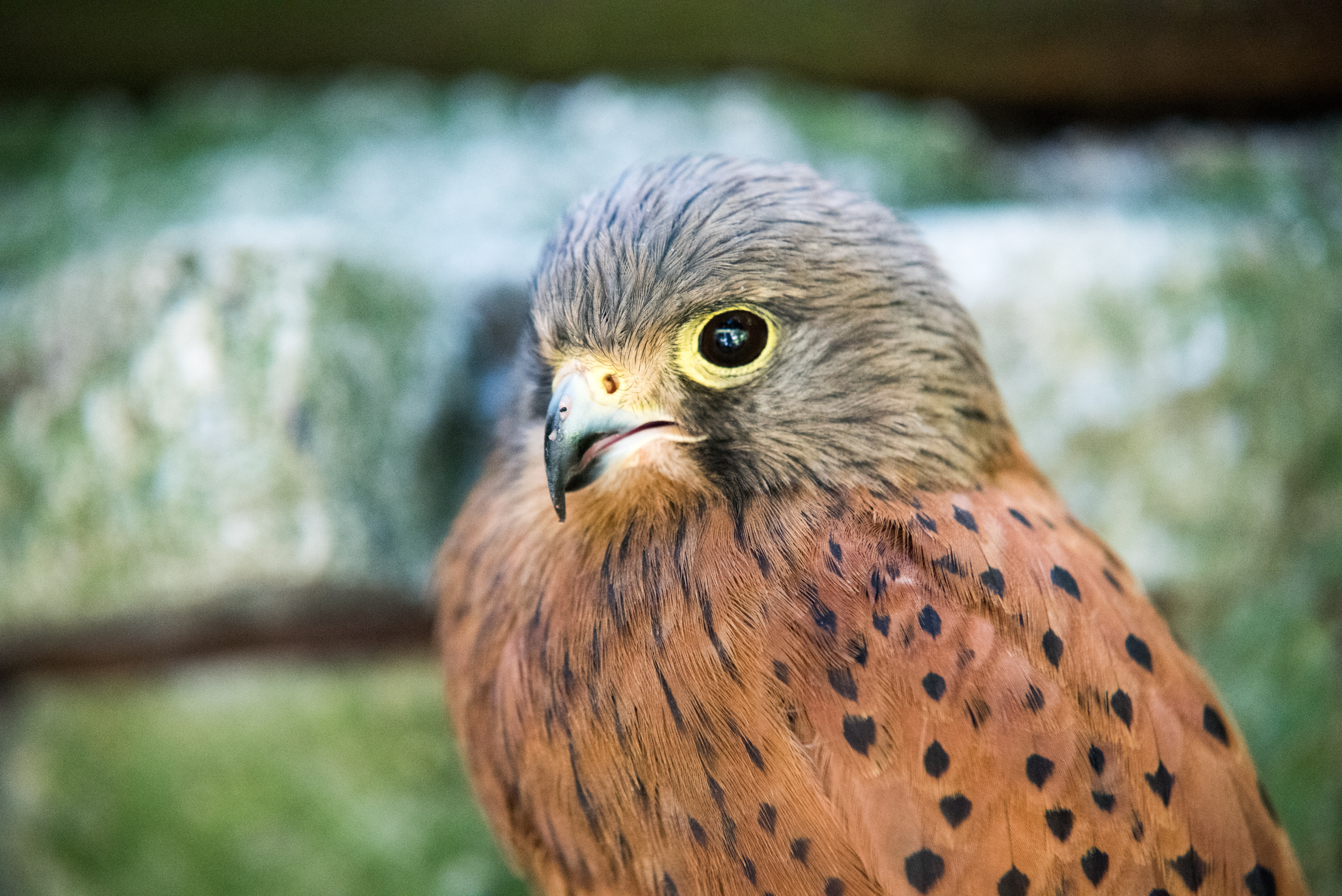 A close-up of a falcon looking at the camera