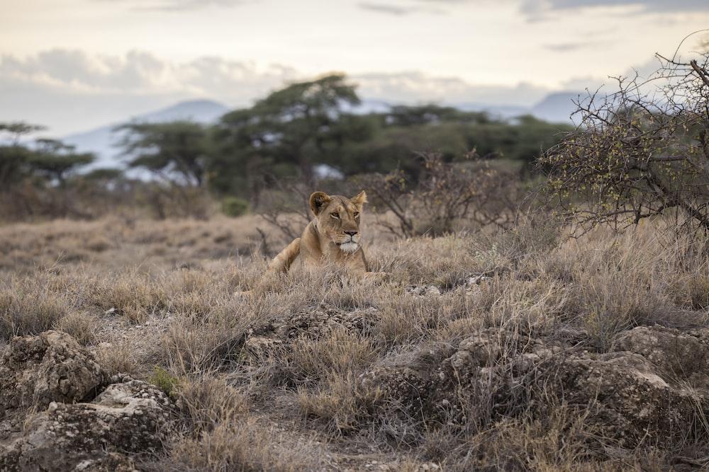 lion on grass field