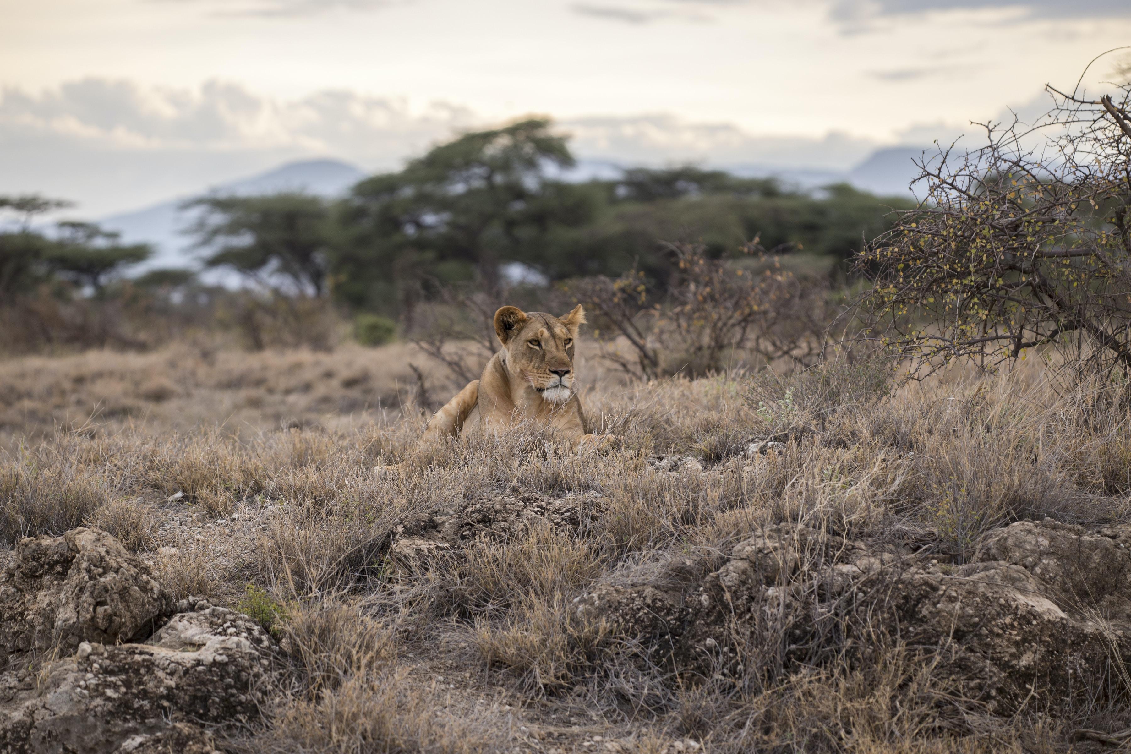 African safari savanna grassland landscape with trees and female lion