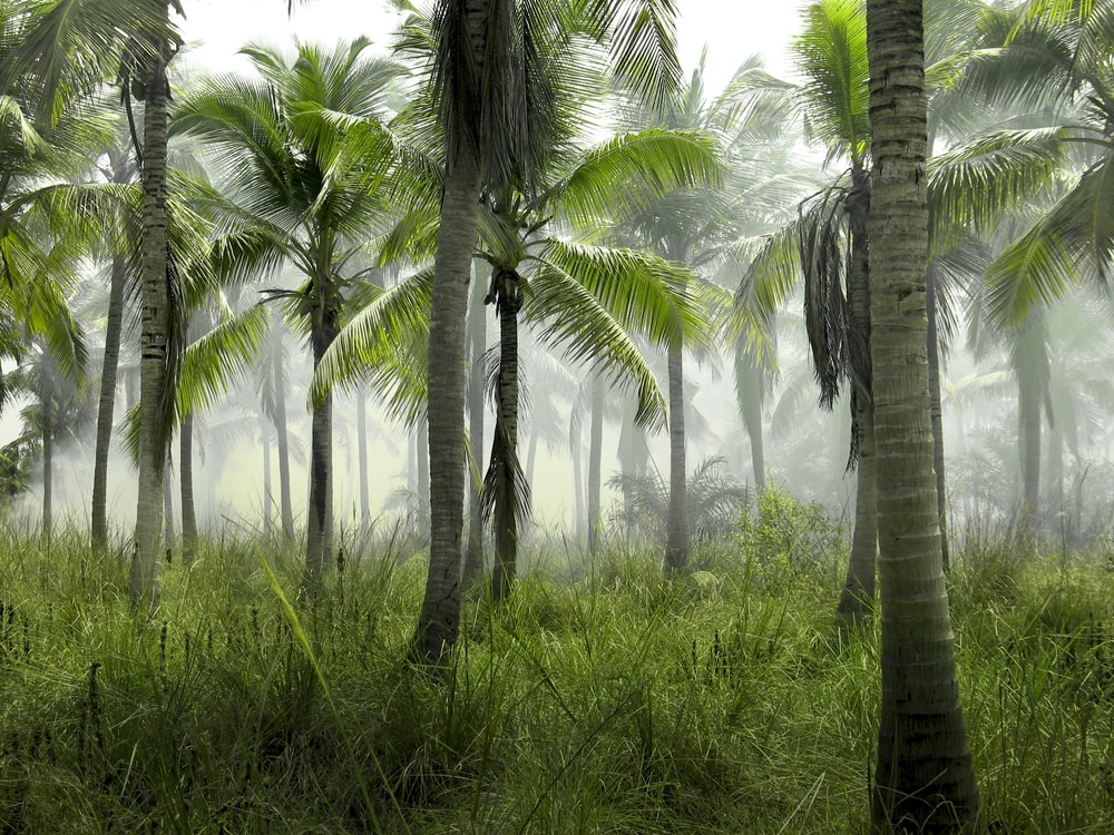 coconut trees in forest covered with mist at daytime