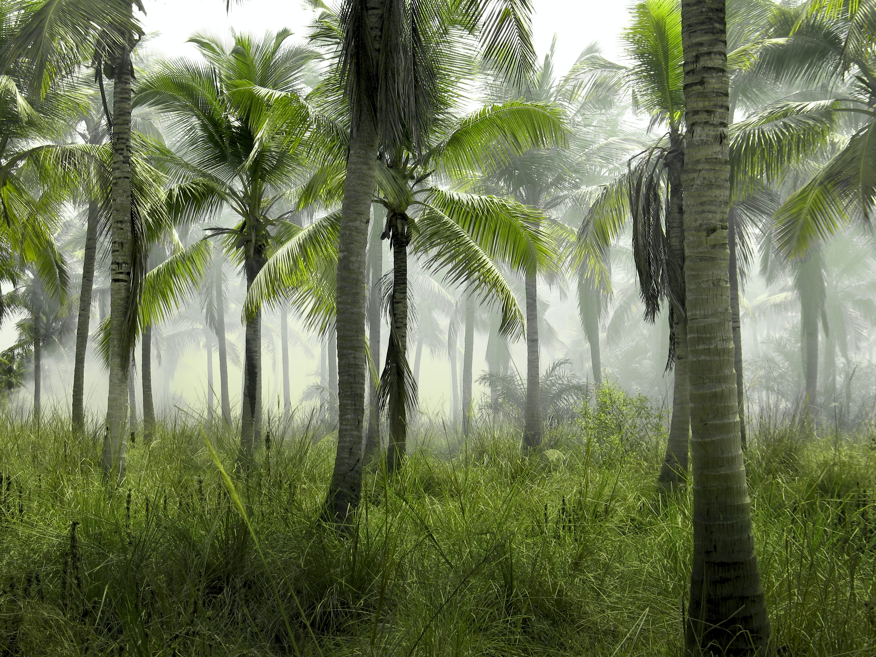 A large group of palm trees on grass on a sultry morning
